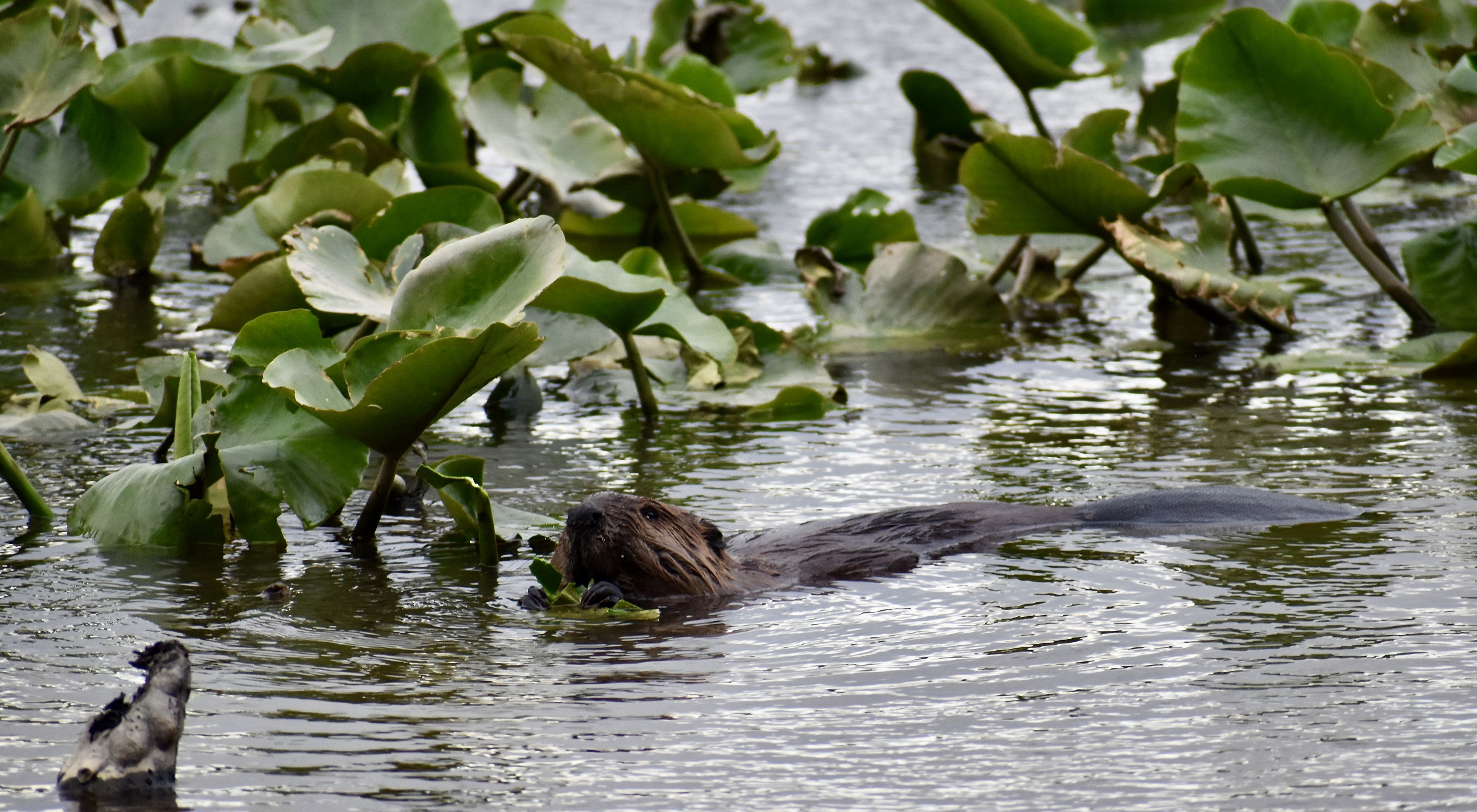 A beaver swims in a lake created by beaver activity. Its head, back and flat tail are visible at the surface of the rippling water. Thick leaves from aquatic plants float behind it.