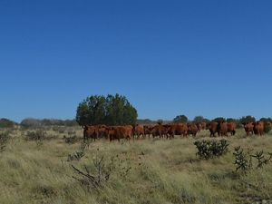 Grazing cattle in Colorado
