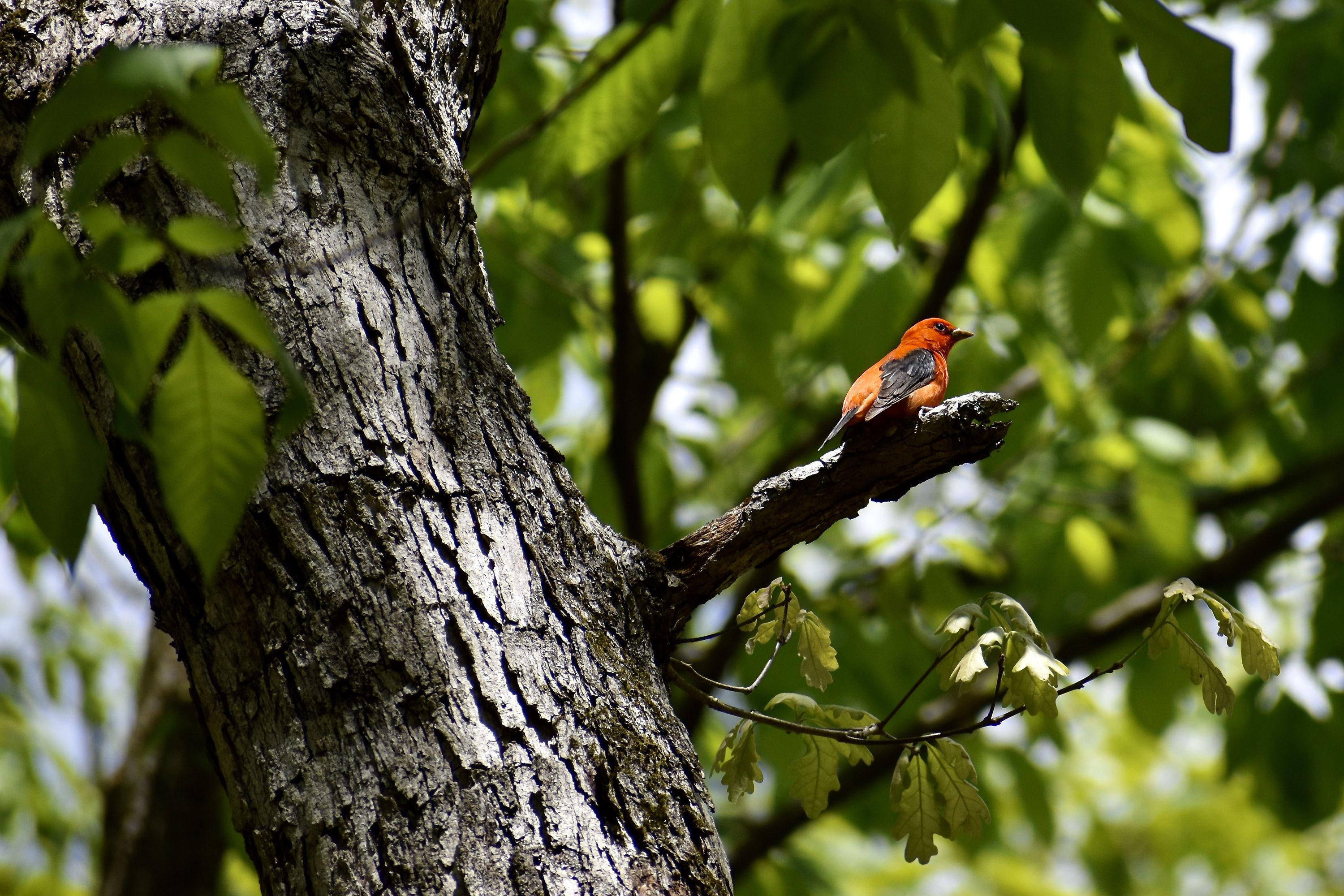 A bright red bird with black wings and a black tail perches on the end of a short, stubby branch. Green leaves form a thick canopy behind the bird.