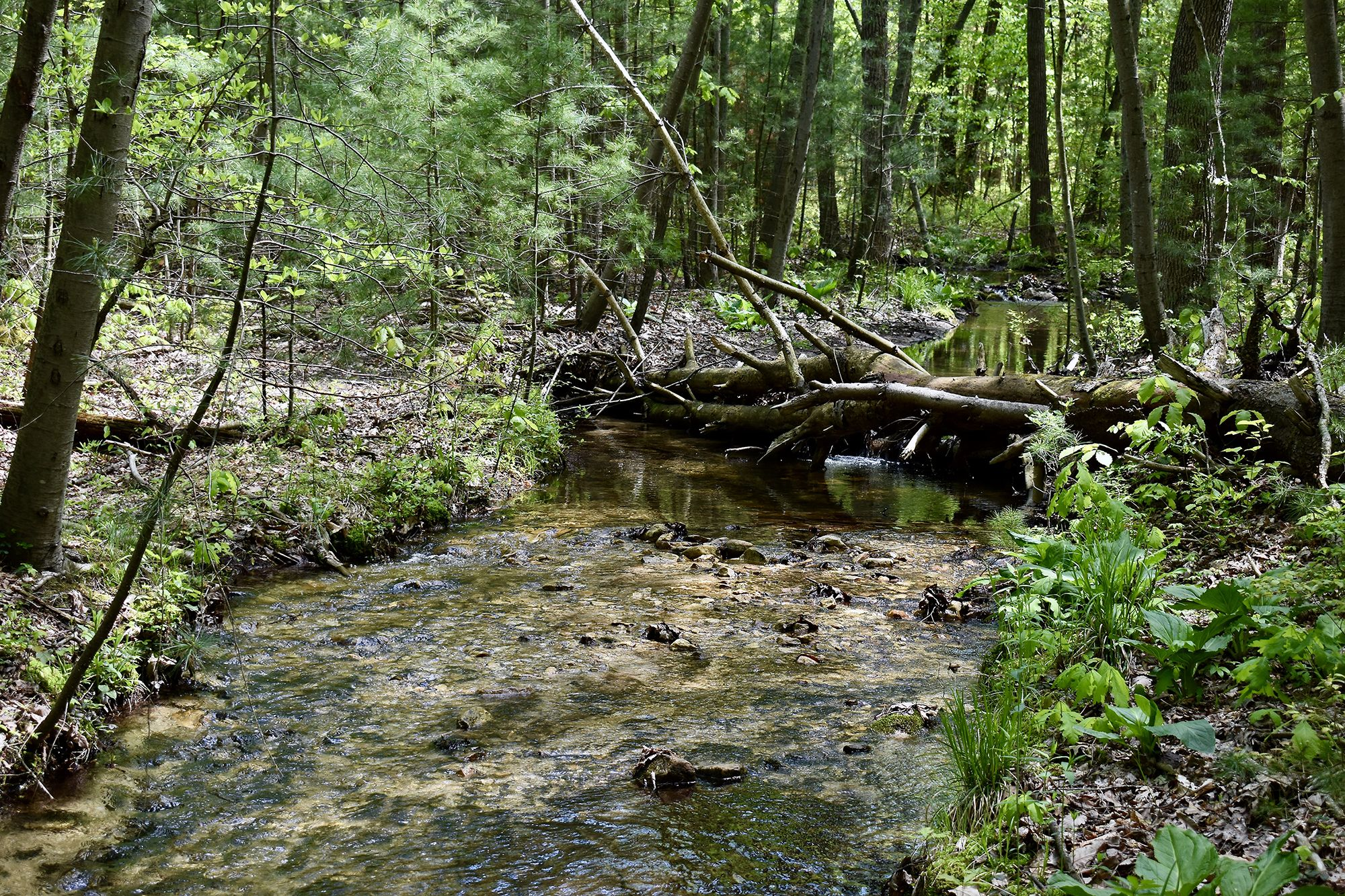 A wide mountain stream meanders through a thick forest. A large tree has fallen across the stream forming a natural bridge. Water swirls around the rocks in the stream bed.