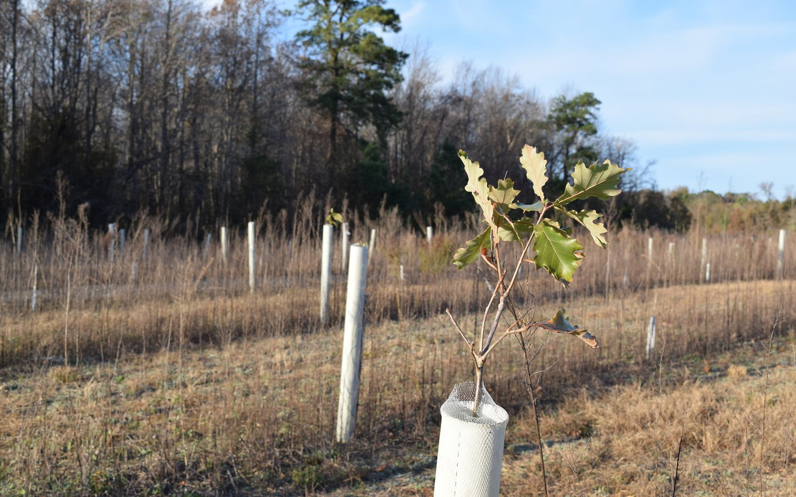 Rows of tall white plastic tubes fill an open field. Leaves on thin branches poke up through the tops of the tubes.