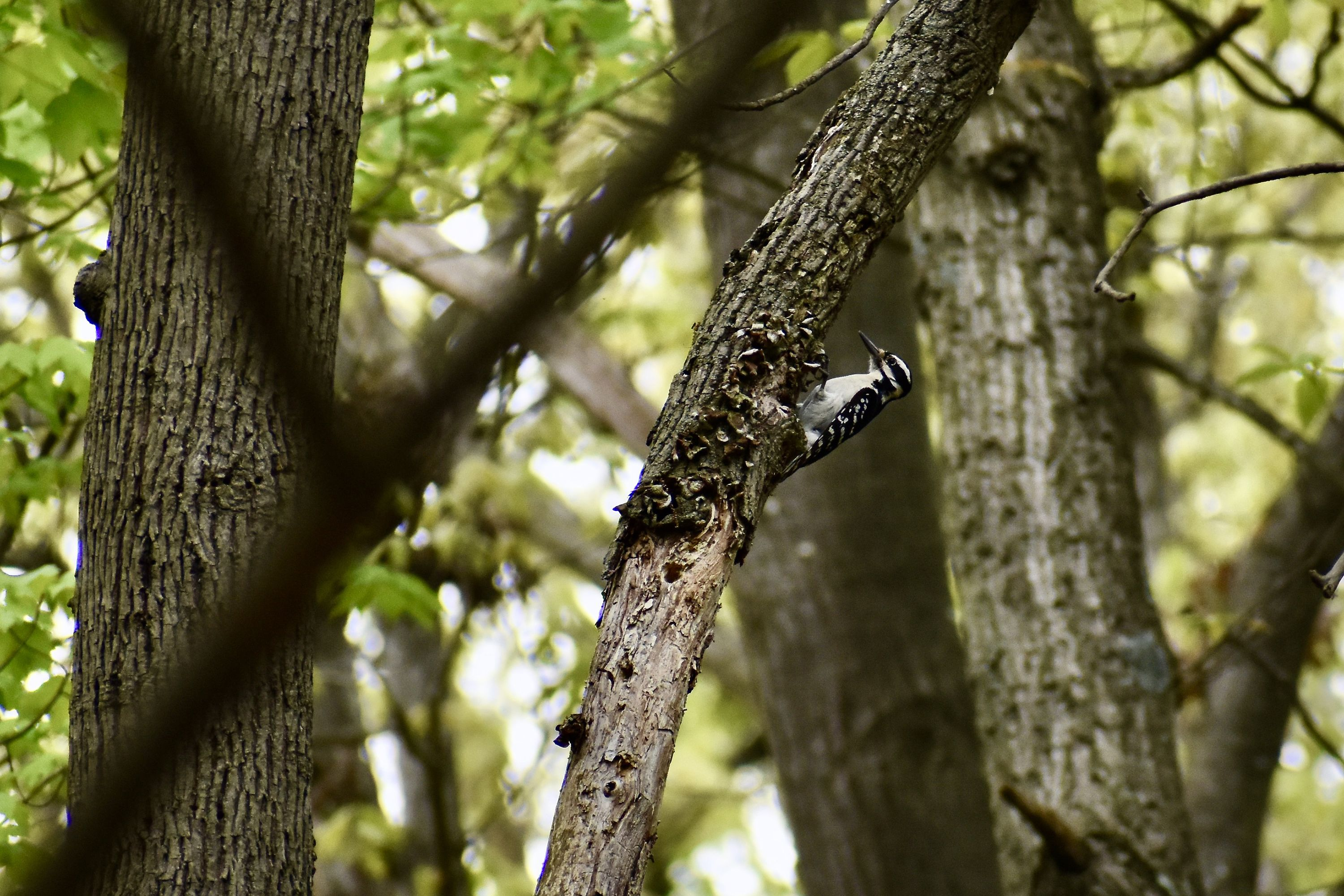 A downy woodpecker perches on the side of a tree. A small black and white bird is viewed in profile in a forest. The bird has a white breast and black mask stripe across its eyes.