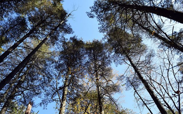 View looking up into the crown of a tall stand of Atlantic white cedar trees. The short branches spread out against a blue sky.