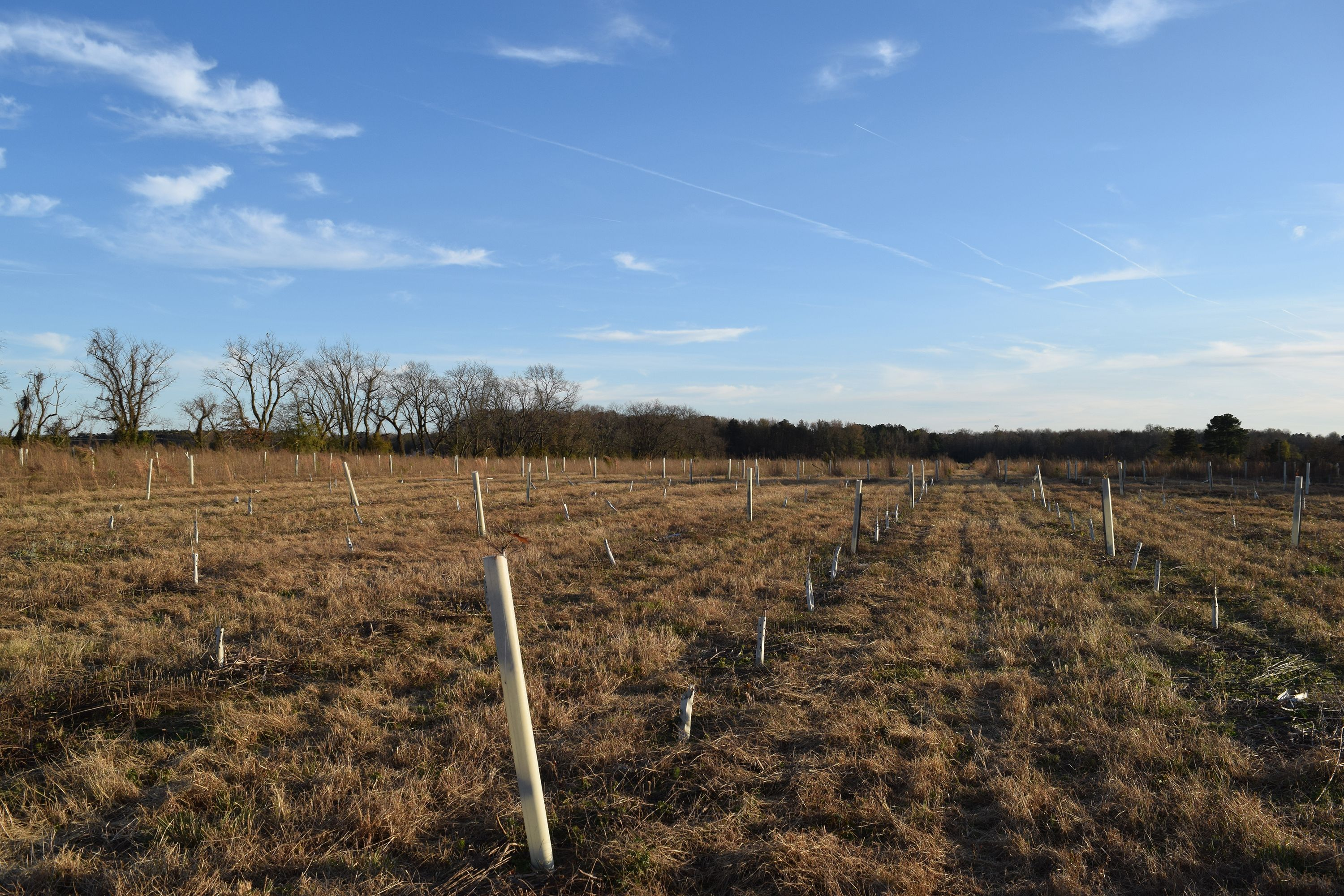Rows of tall white plastic tubes fill an open field. Shorter cardboard tree shelters fill in the rows between the tubes.