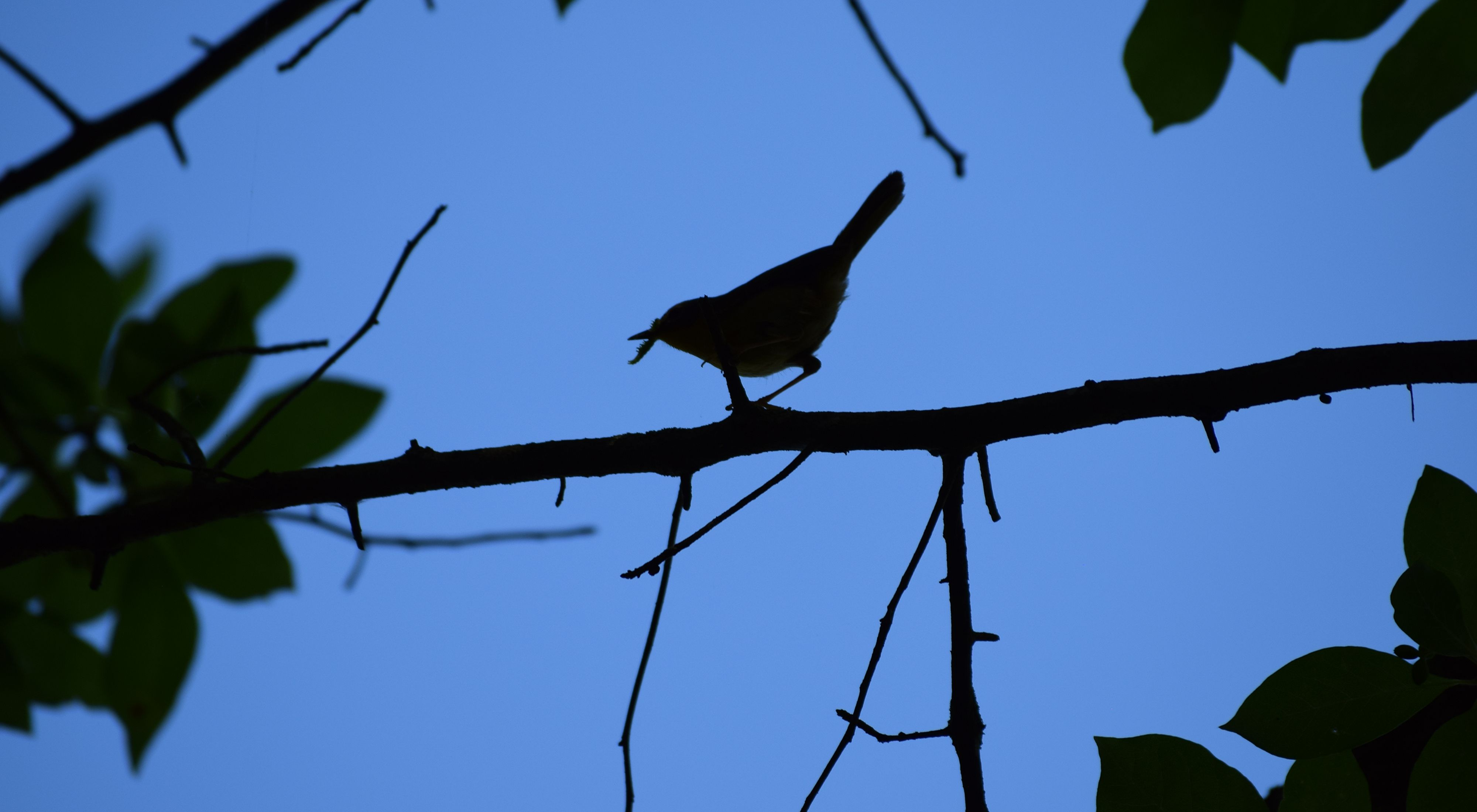 A bird is silhouetted against a dark blue sky. A bird holds an insect in its beak while perching on the branch of a tree. The bird and branches are in shadow showing as solid black against the sky.