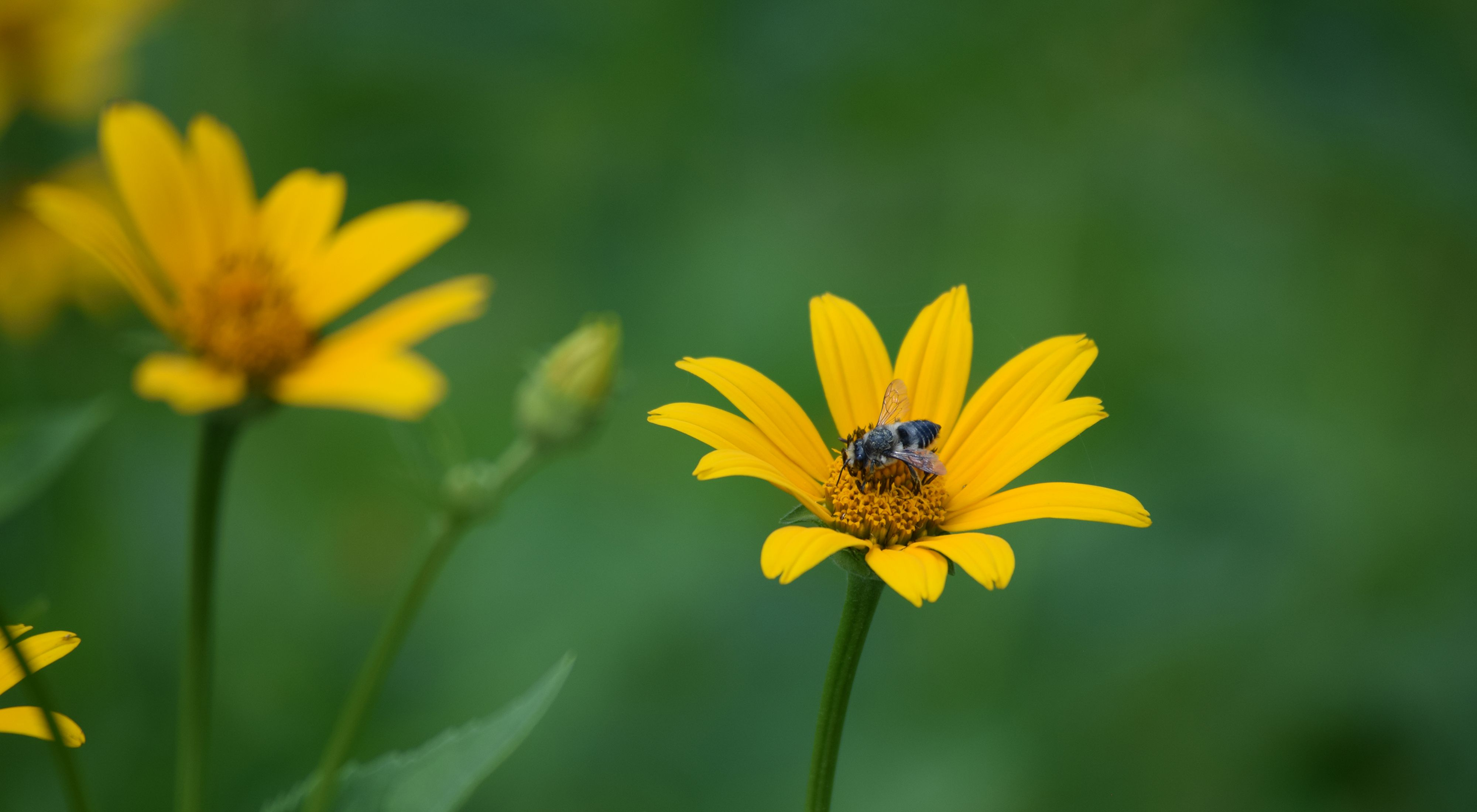A small bee collects pollen from a yellow flower.