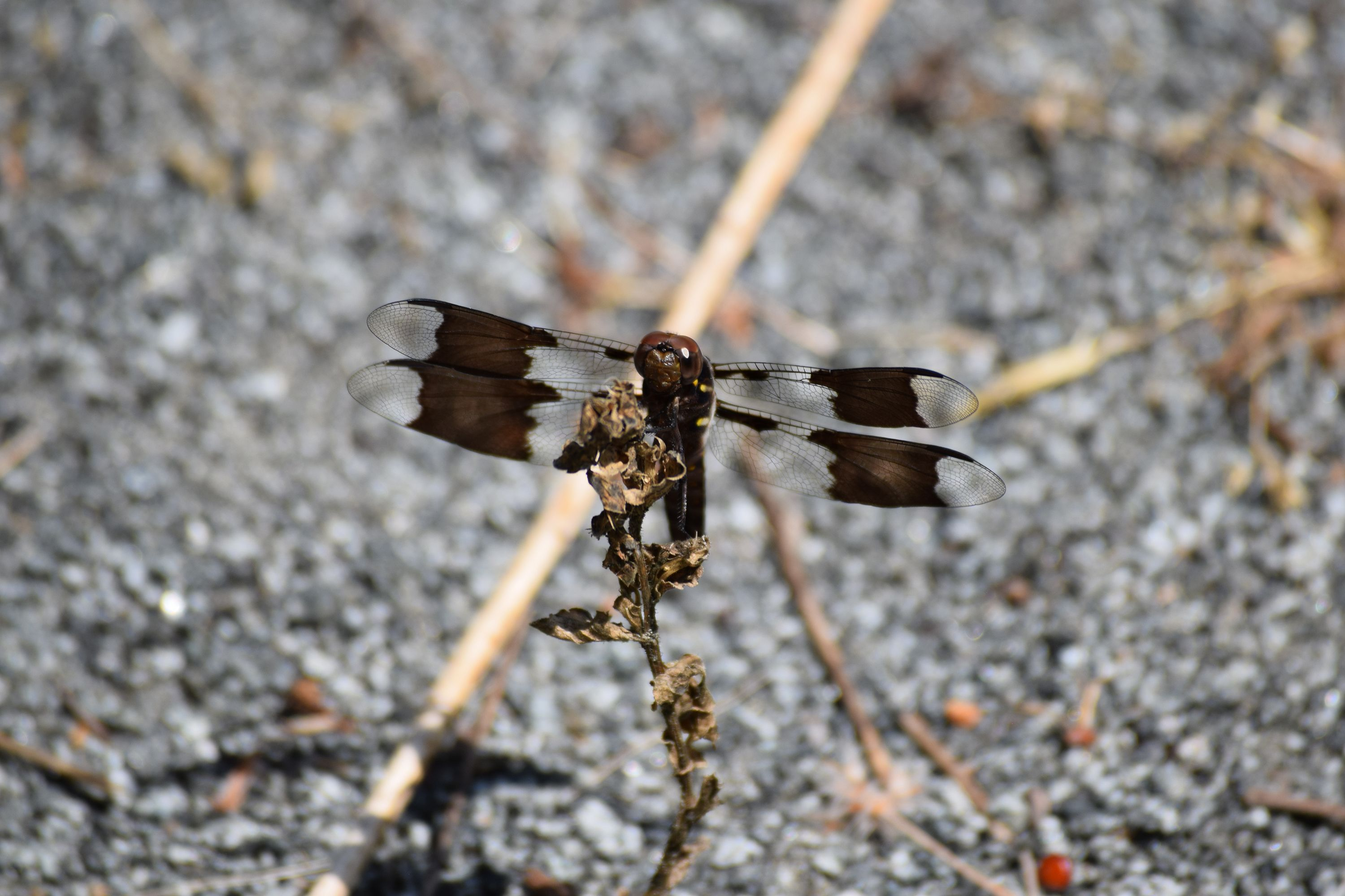 A common whitetail dragonfly perches on a withered plant. The dragonfly's body is dark brown. It has four translucent wings, each with a large brown marking.
