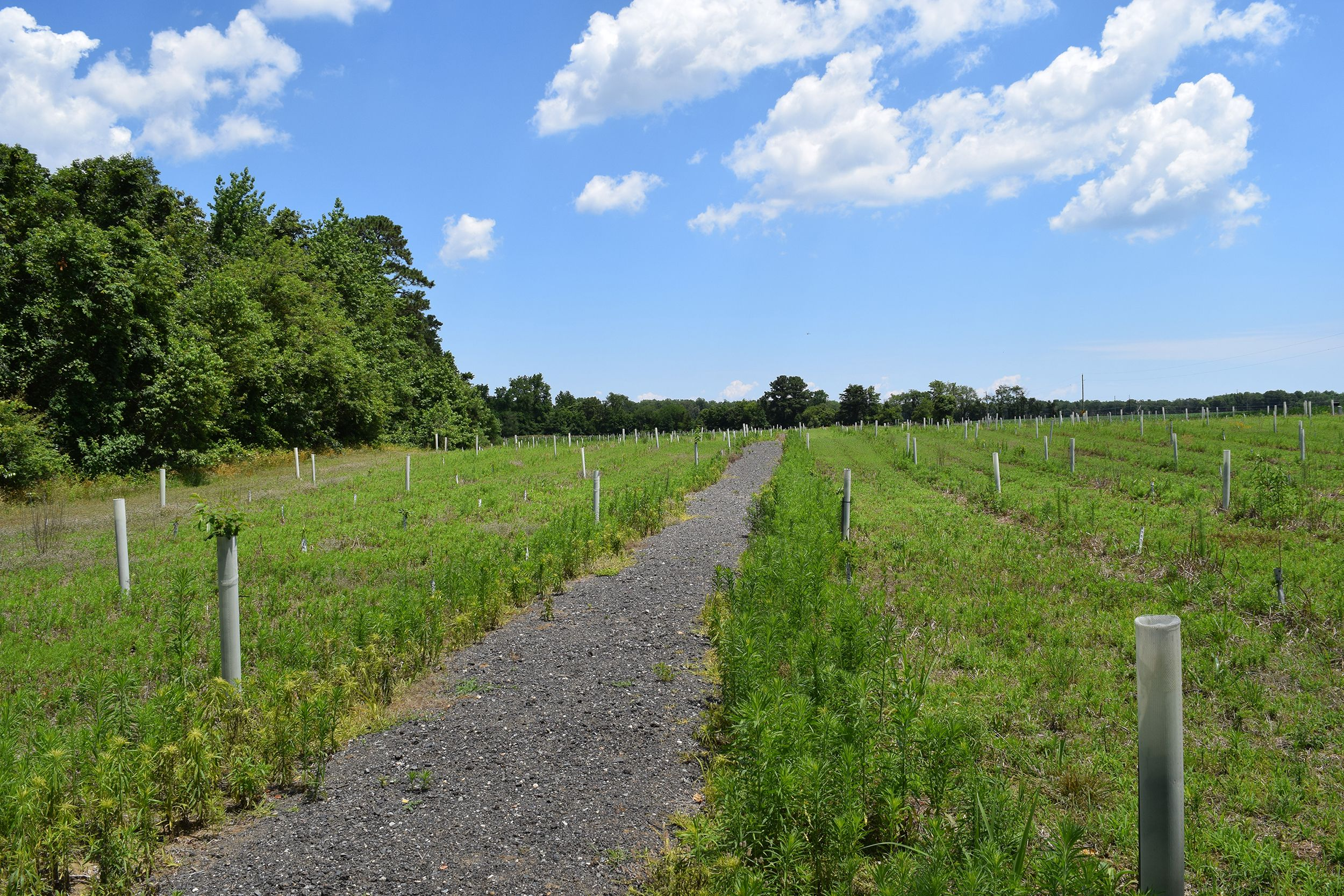 A wide gravel path cuts through an open meadow. Tall white plastic tree tubes are evenly spaced across the meadow protecting young oak saplings. A mature forest grows at the edge of the meadow.