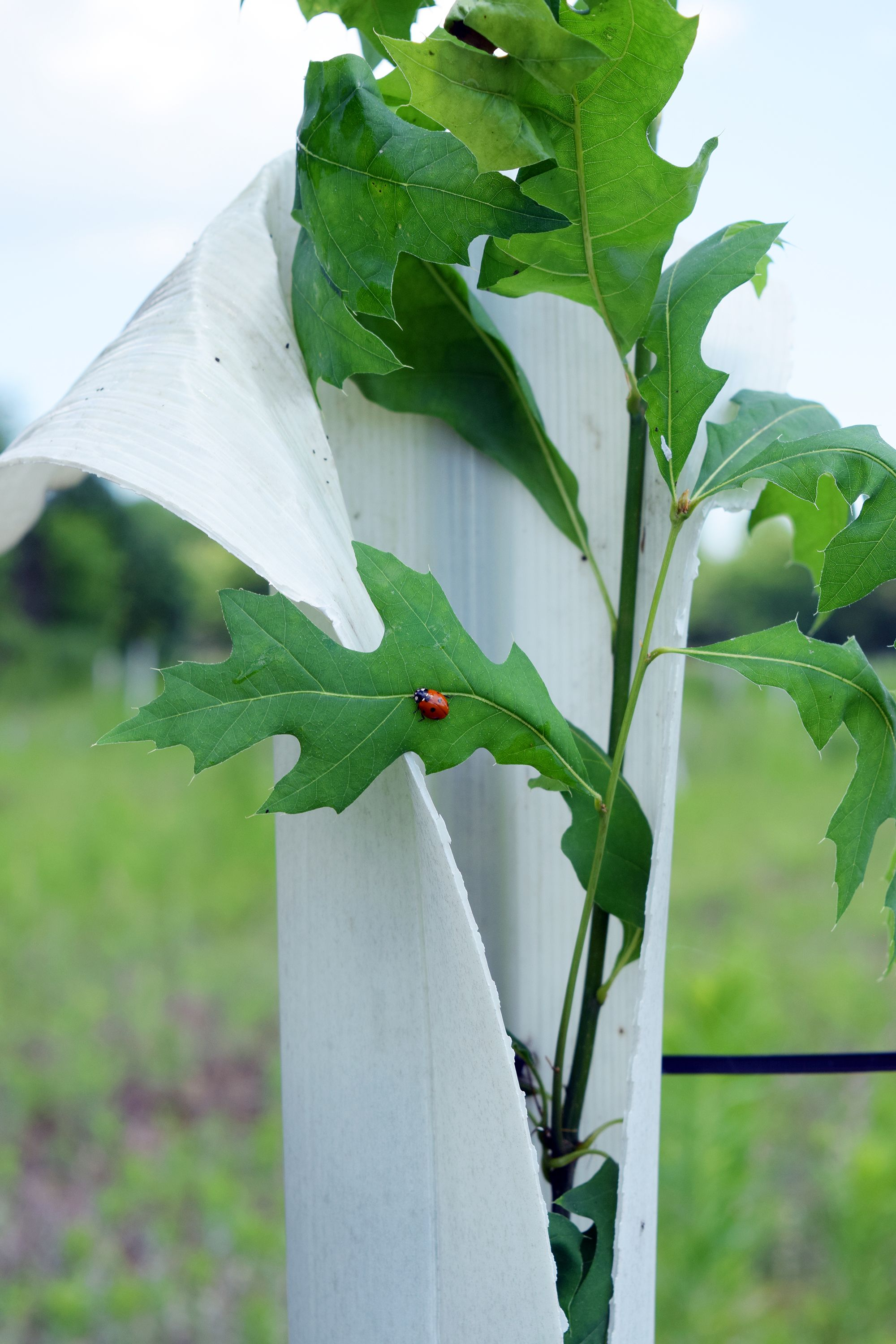 An oak sapling grows through the top of a tall plastic tube meant to reduce browsing by deer. A red ladybug sits on one of the leaves.