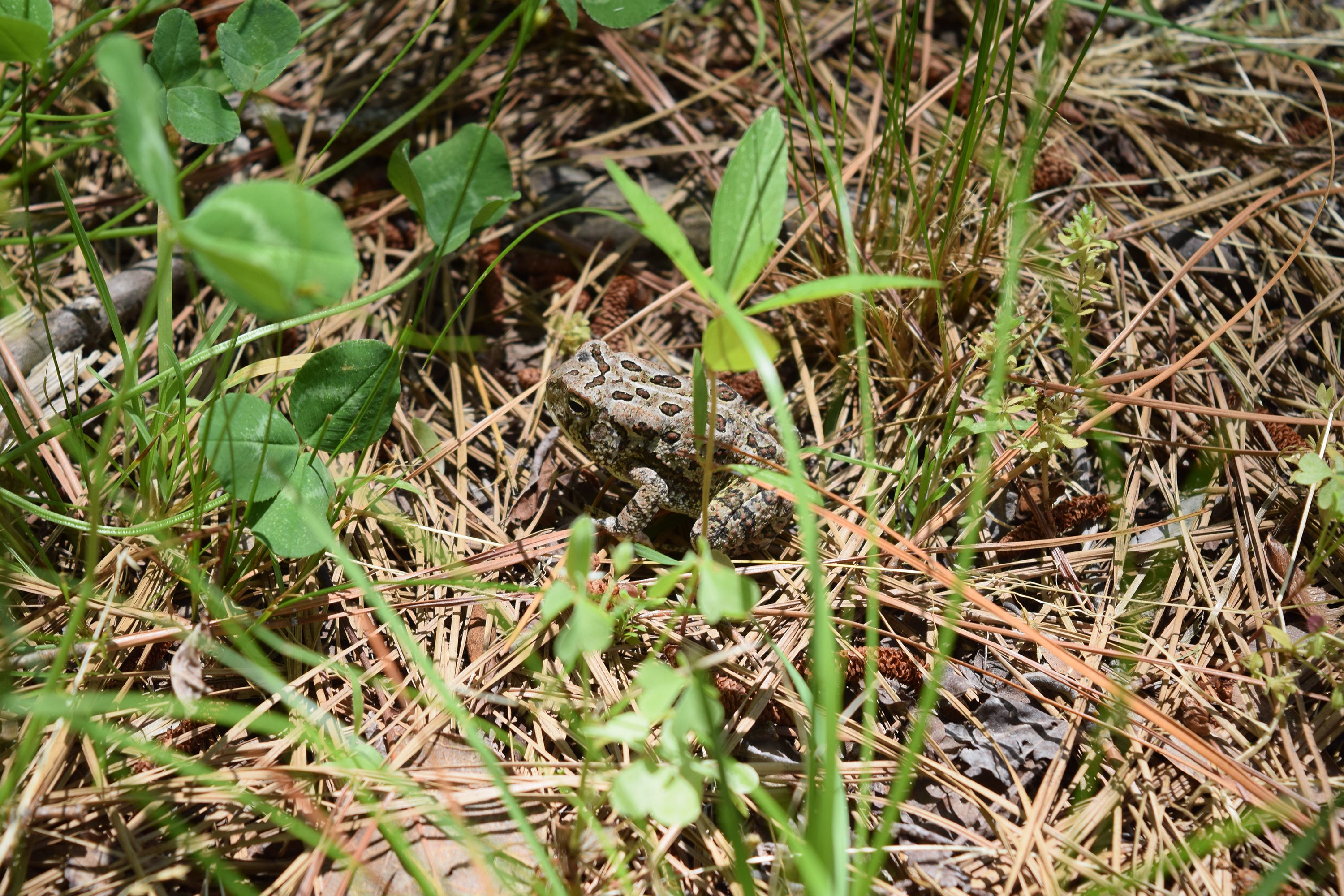 A small toad sits in the middle of a pile of pine needles. The toad is light brown with large dark brown spots ringed with white running along its back.