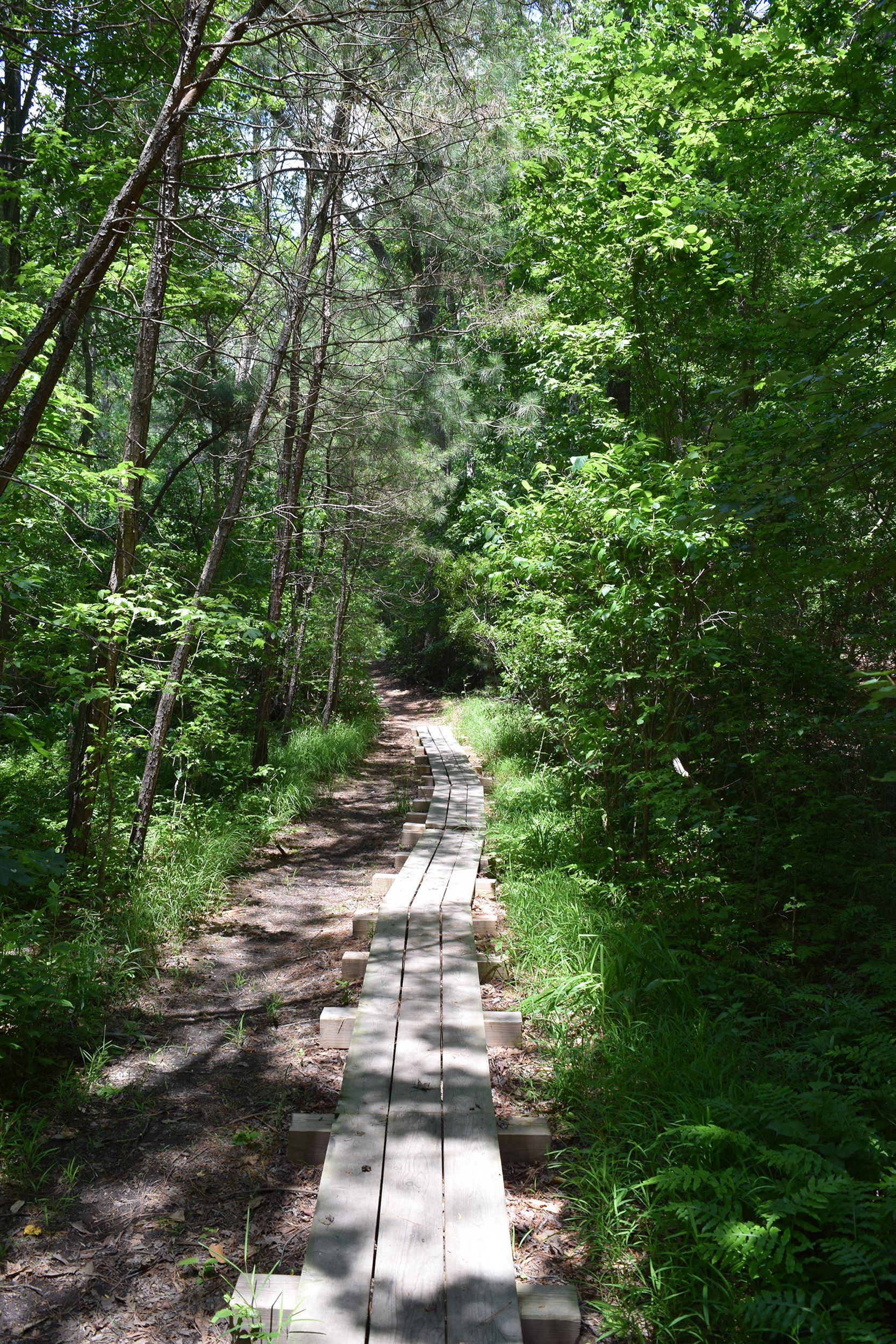 A raised wooden trail stretches into a forest. The trail is three boards wide. The trees bend over the trail shading it from the summer sun.