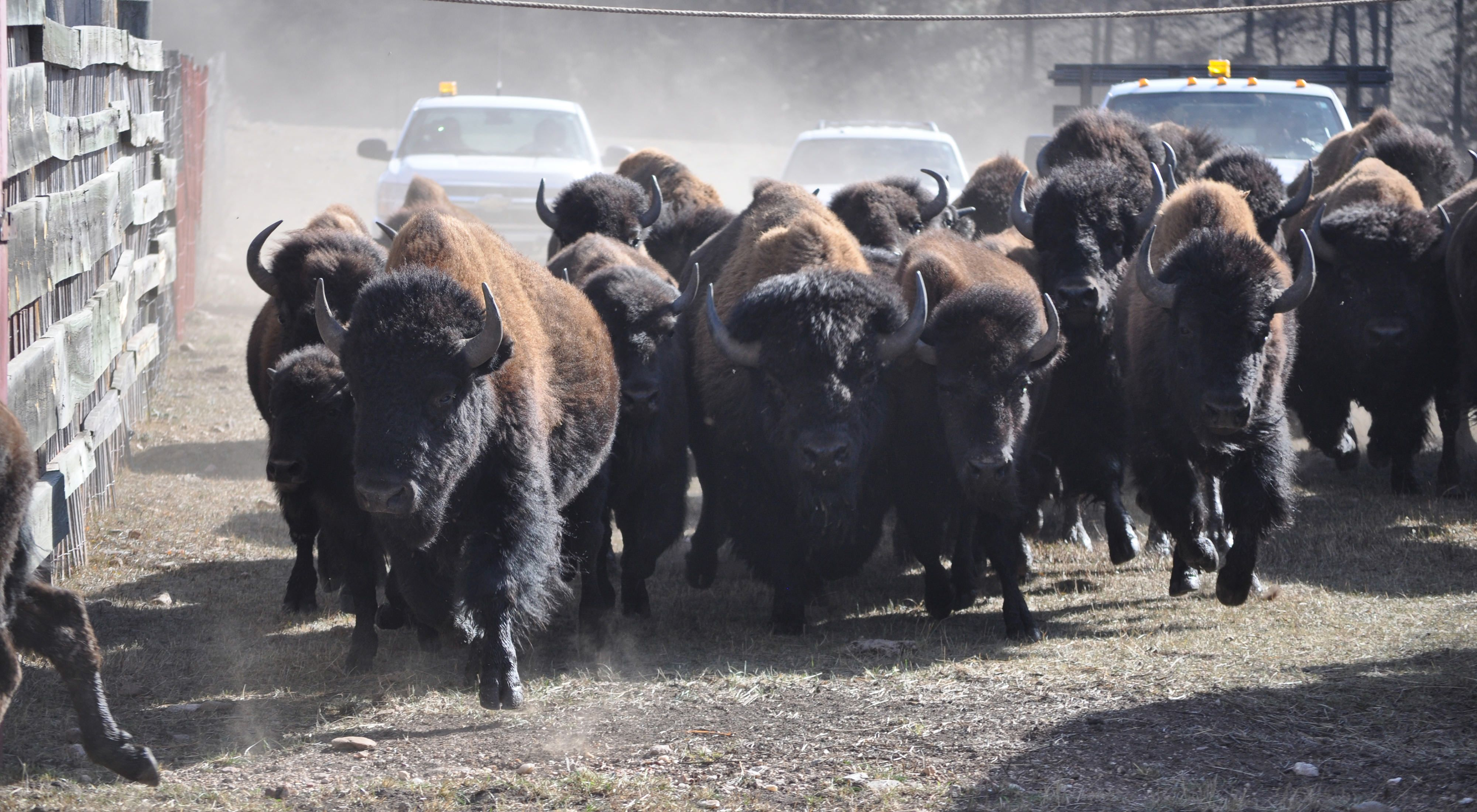 Bison roundup at Wind Cave National Park, South Dakota.