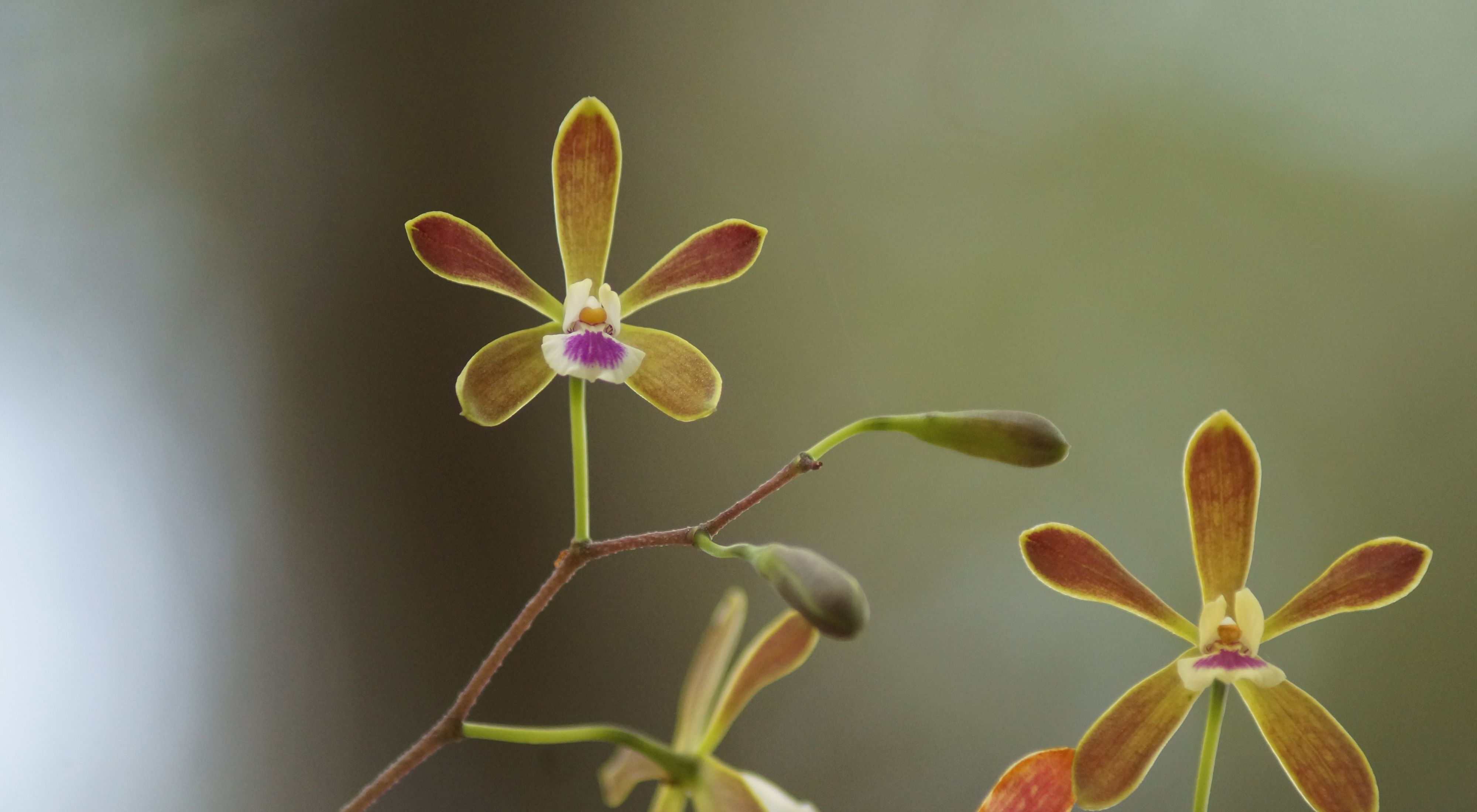 Butterfly orchids in bloom at Disney Wilderness Preserve.