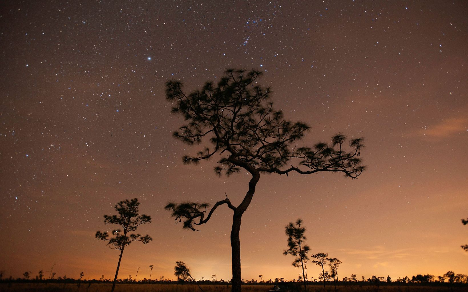 A longleaf pine tree silhouetted against a pink and purple starry sky at dusk.