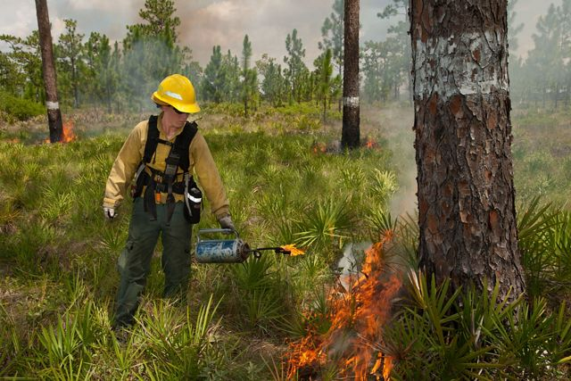 Photo of a woman using a drip torch to conduct a controlled burn in longleaf pine forest in Florida.