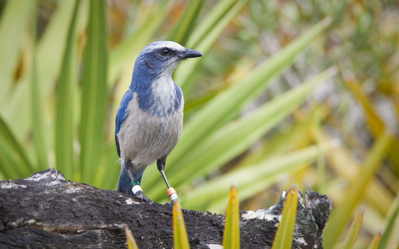 Scrub Jay at Disney Wilderness Preserve