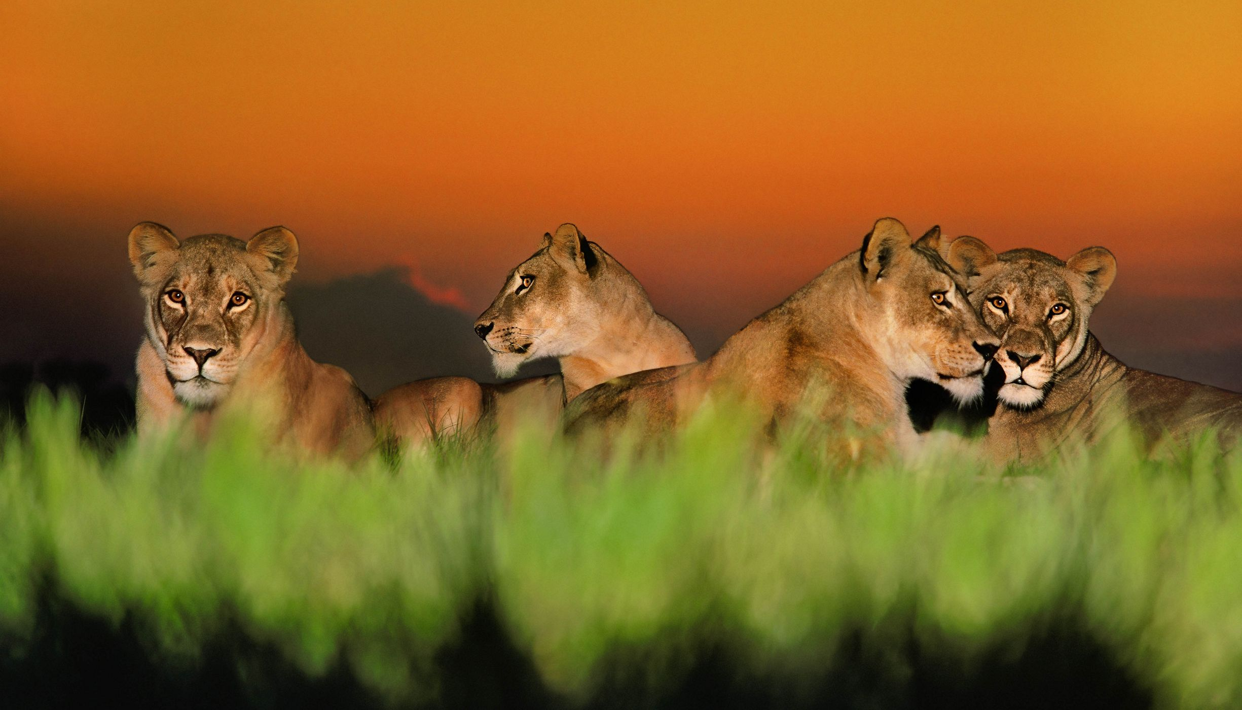 Female lions lounge in the grass at dusk.