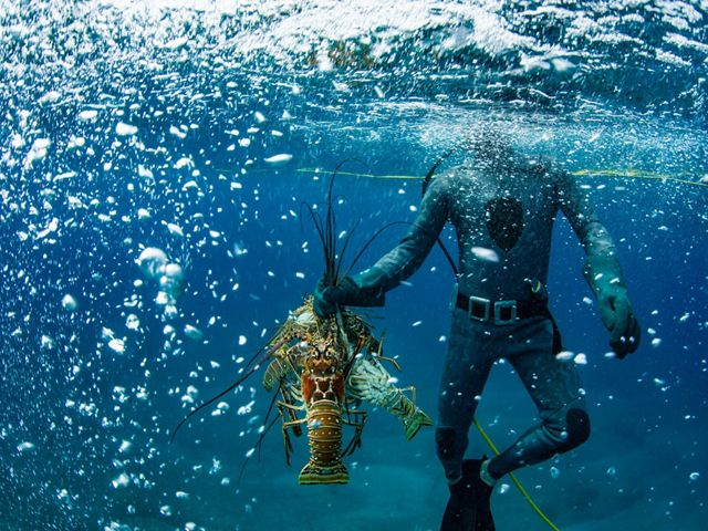 A diver rises toward the surface of the water with a spiny lobster in one hand