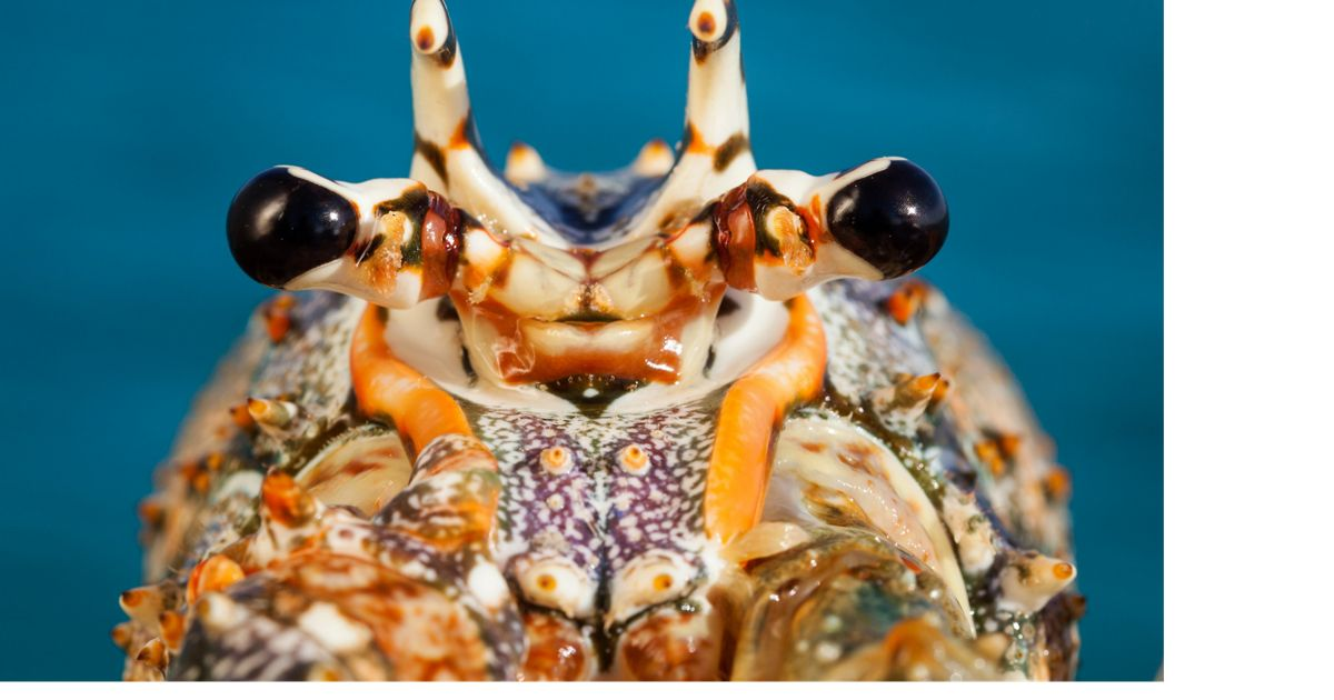 A closeup of the face of a spiny lobster