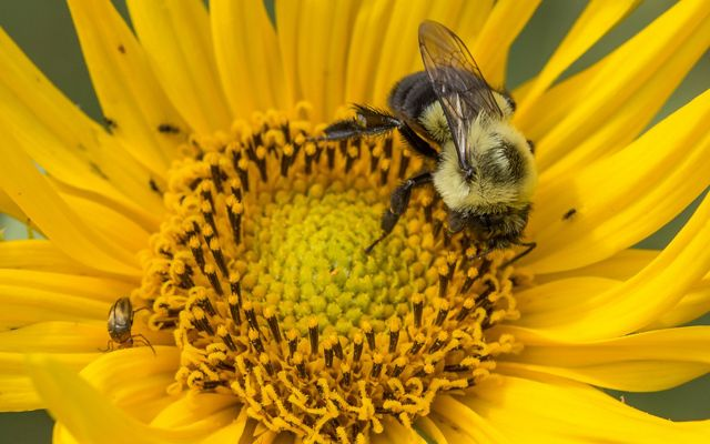 A bumblebee sits on a yellow Maximilian sunflower