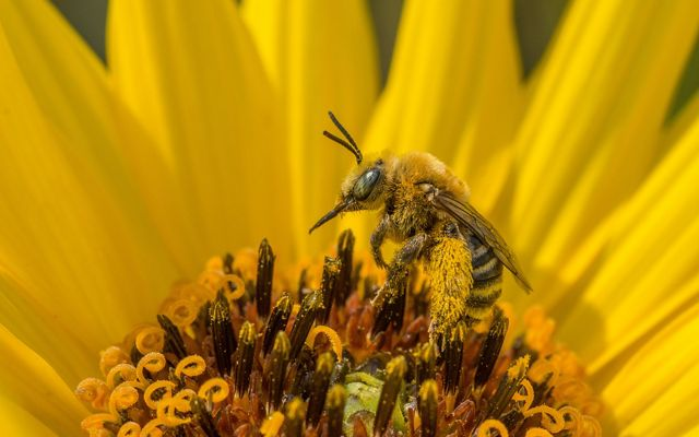 a native bee sits on a yellow stiff sunflower.