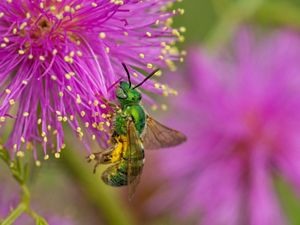 A metallic green sweat bee on a purple briar
