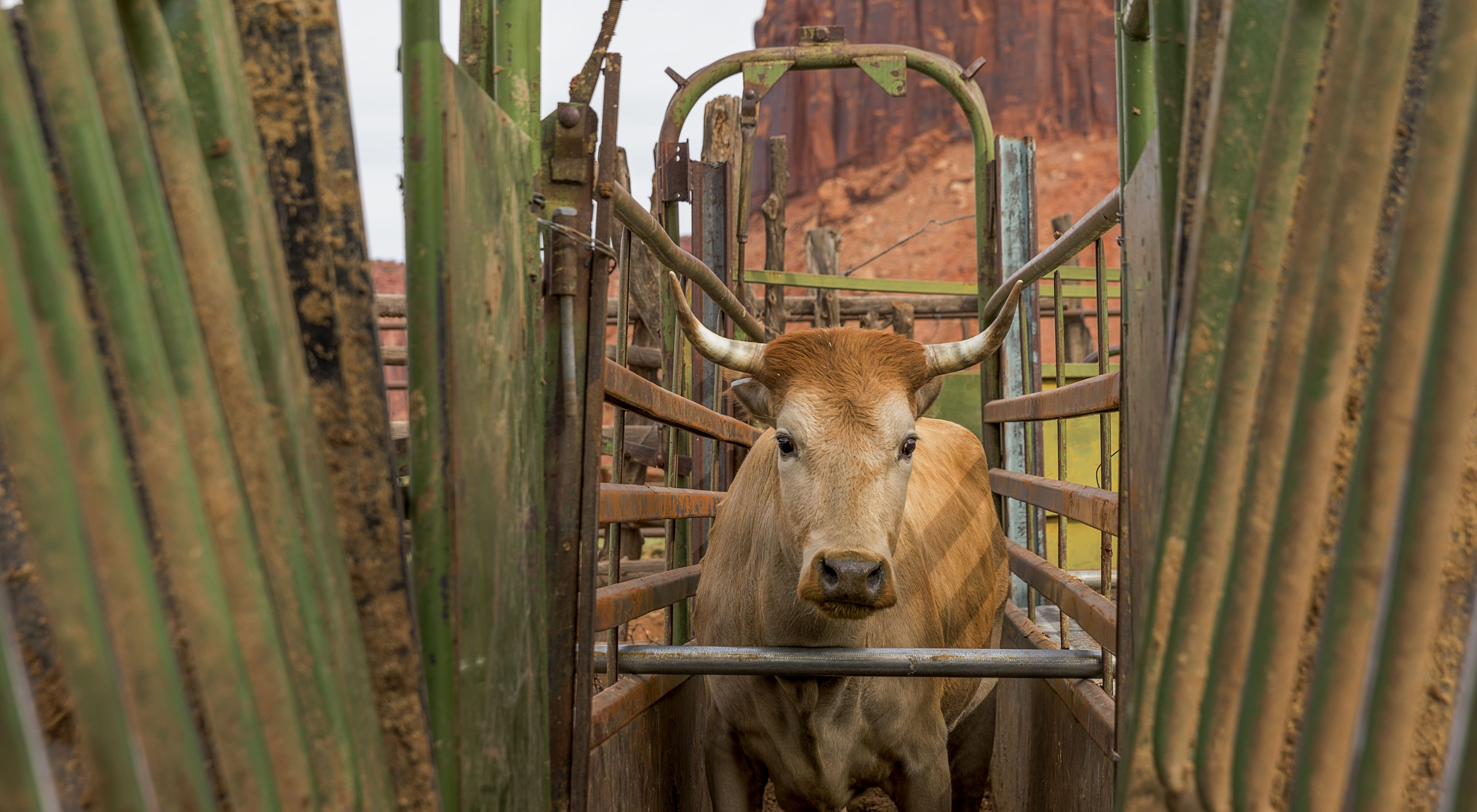 Close up of a small brown cow with short horns standing in a cattle chute. Cow looks straight at camera.