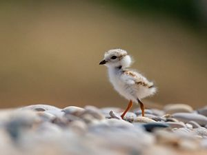 Baby piping plover on a stone beach