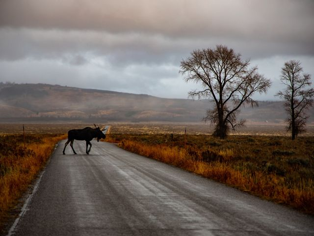 A lone moose crossing the road in Wyoming.