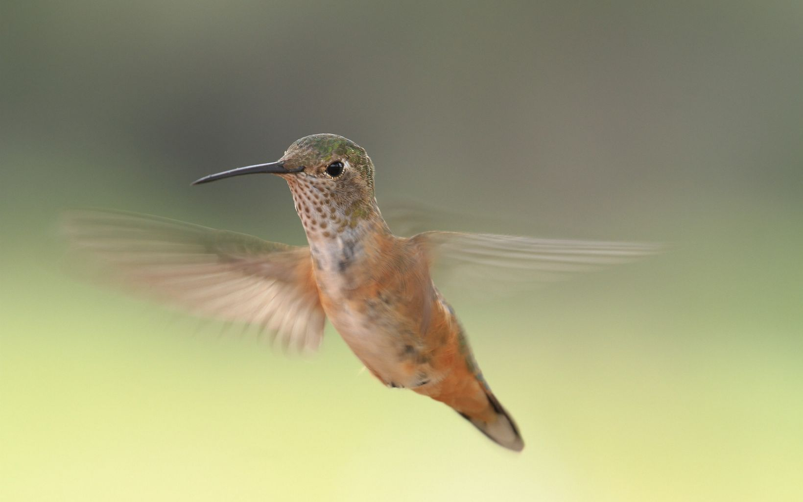 Close-up of a hummingbird in flight.