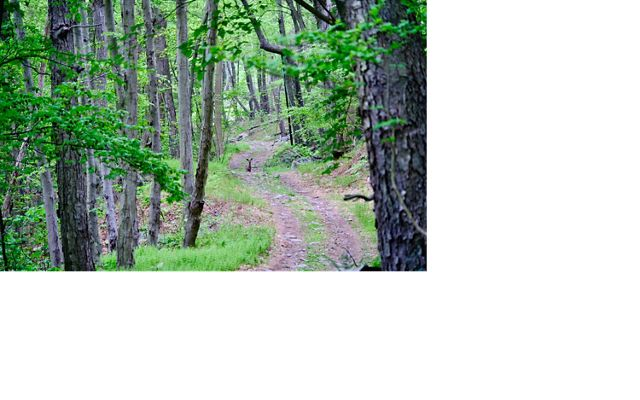 A deer stands at the far end of a two-track trail that winds through a forest of tall trees with green leaves.