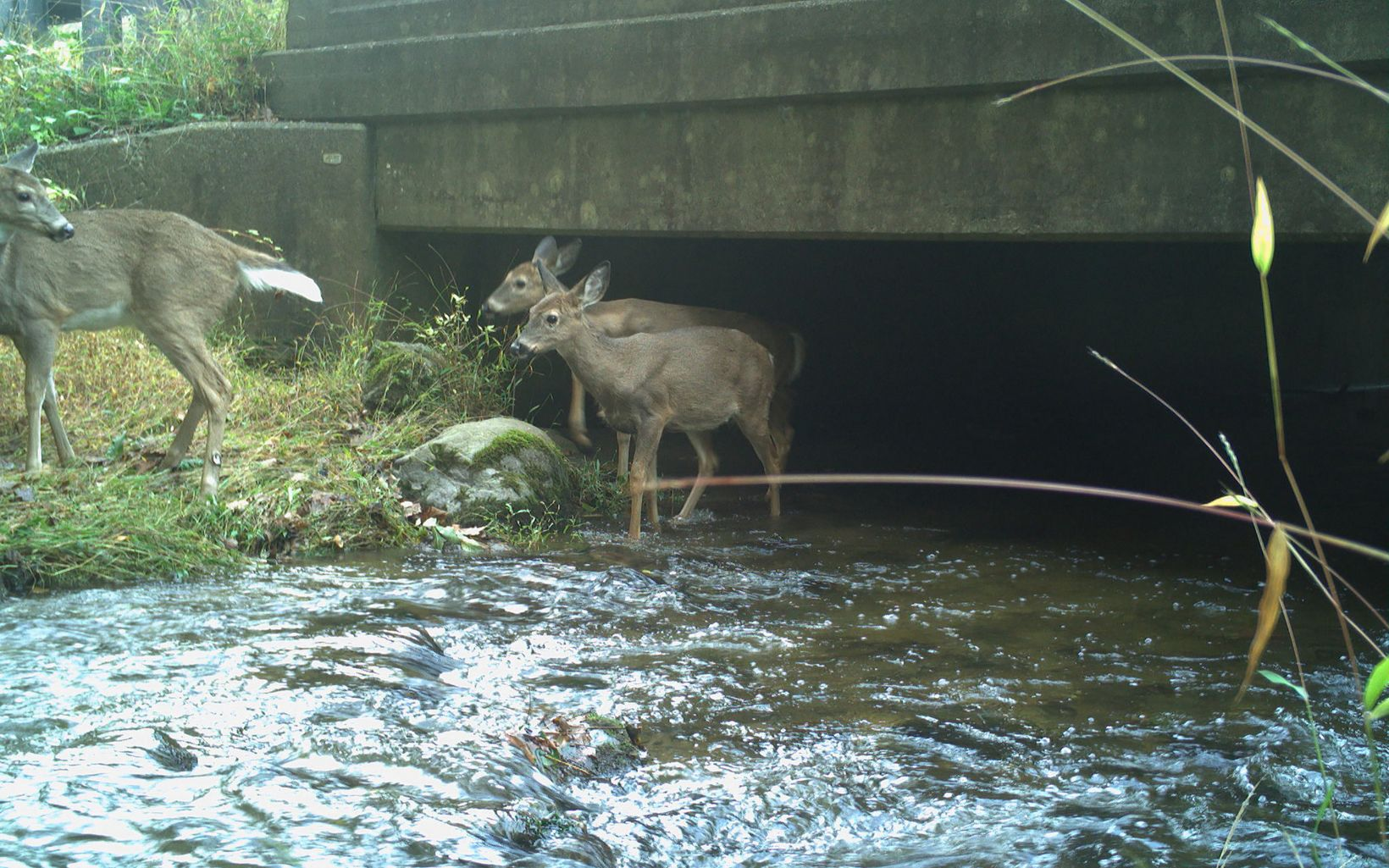 Deer emerging from culvert
