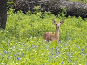 A deer stands in a field of blooing spiderwort.