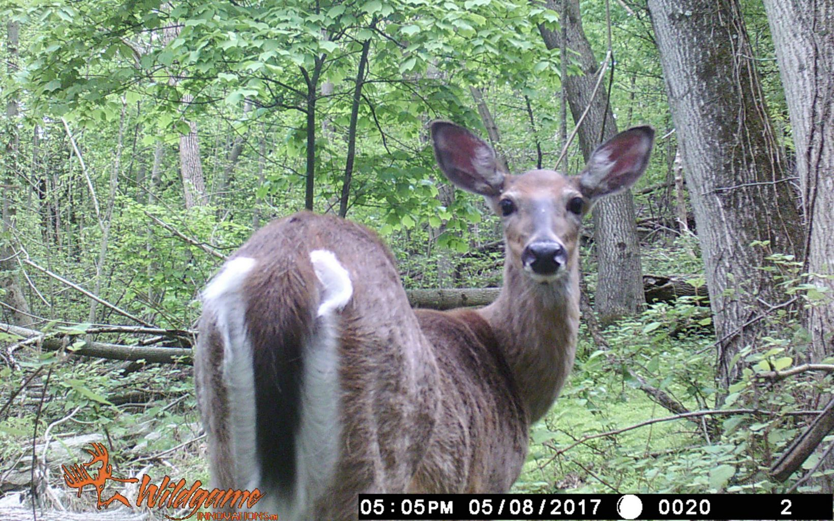 A deer perks its ears as it turns to look around.