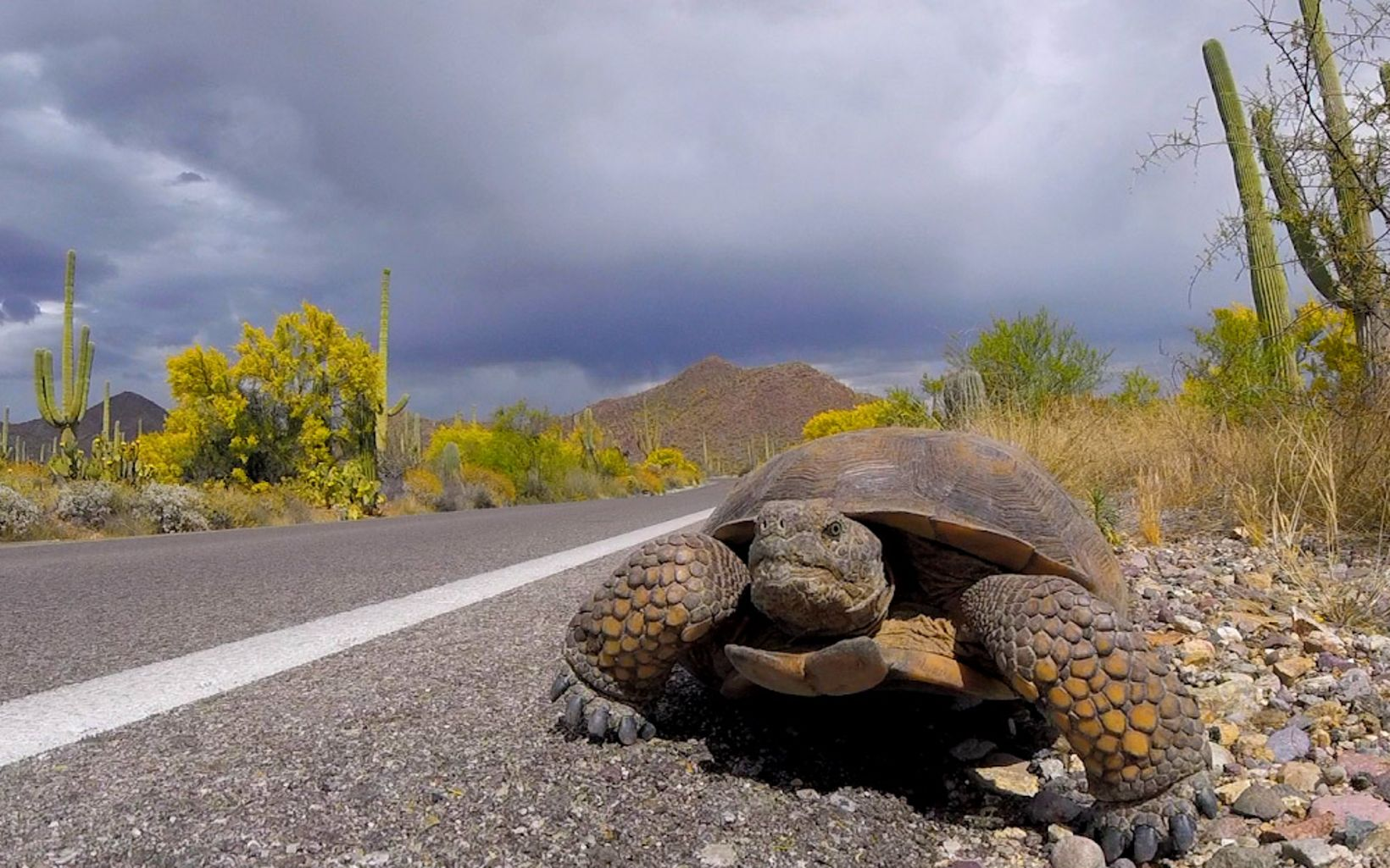 View from ground level looking head-on at a tortoise walking along the side of a highway in a desert landscape under a cloudy sky.