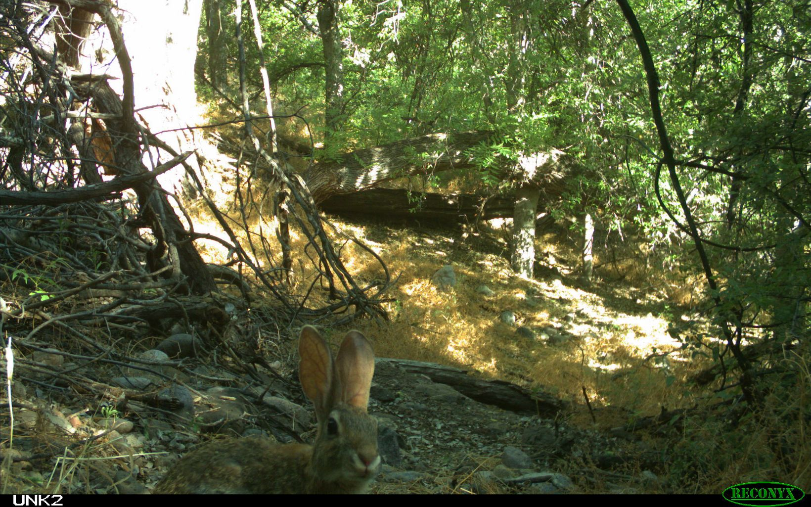 desert cottontail on the trail camera