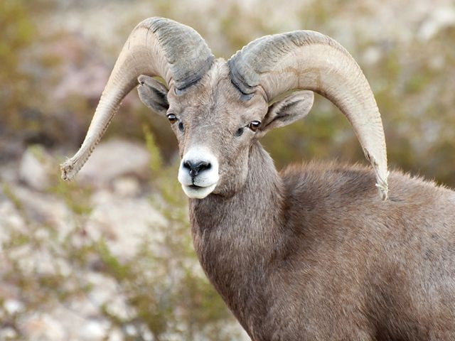 Desert bighorn sheep with large horns looking at the camera .