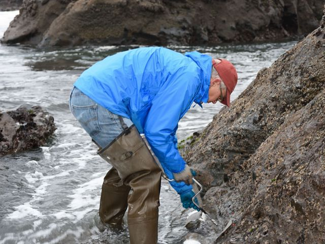 A biologist in hip waders and a rain jacket bends over and uses a hand awl to drill a hole in intertidal bedrock.