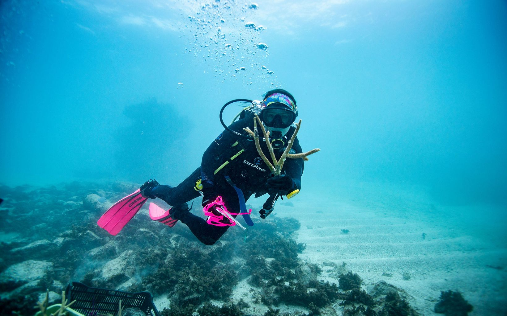 Healthy staghorn corals are outplanted in the Dominican Republic