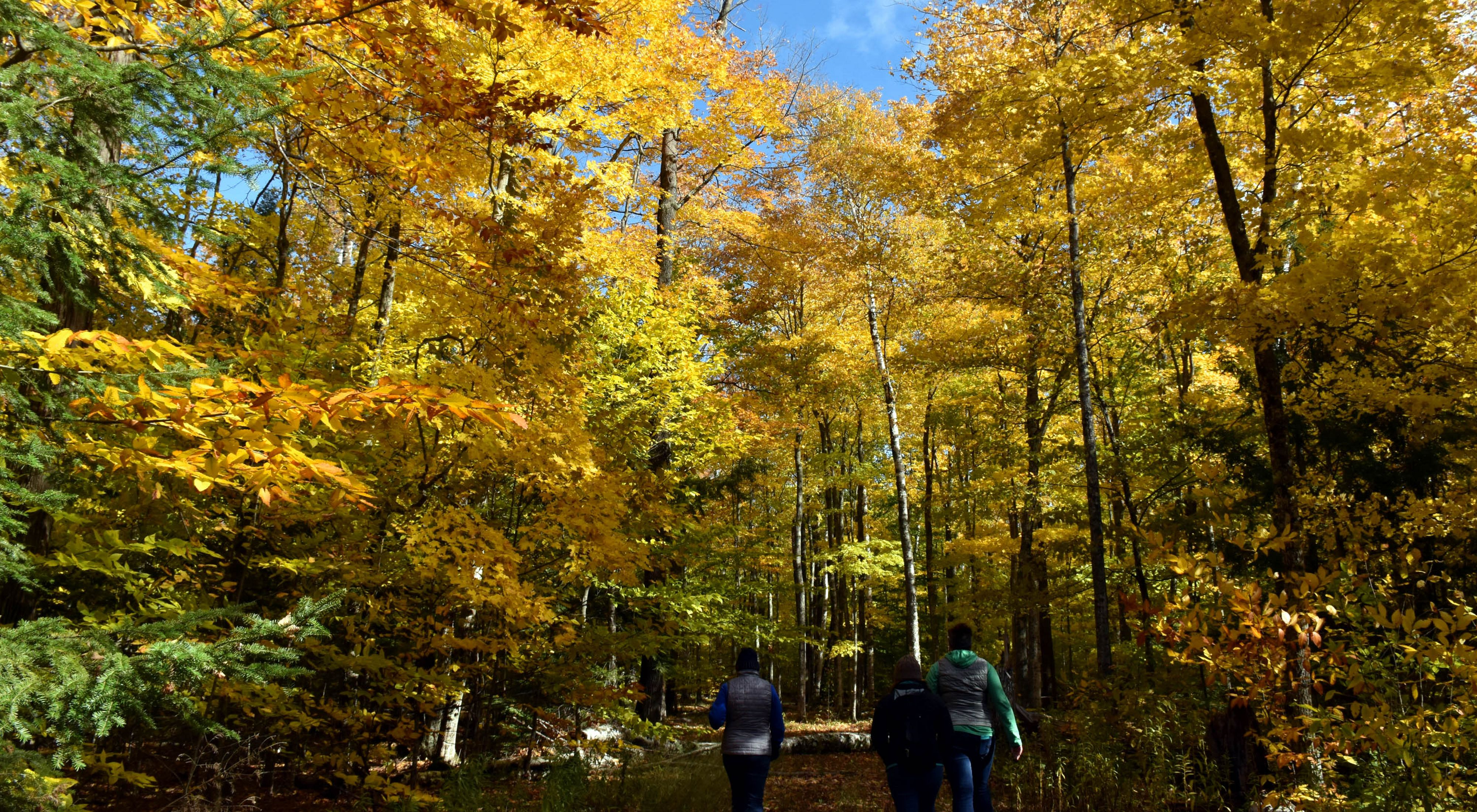 Three hikers walking on a trail through a forest in the fall where the leaves have turned to yellow and orange