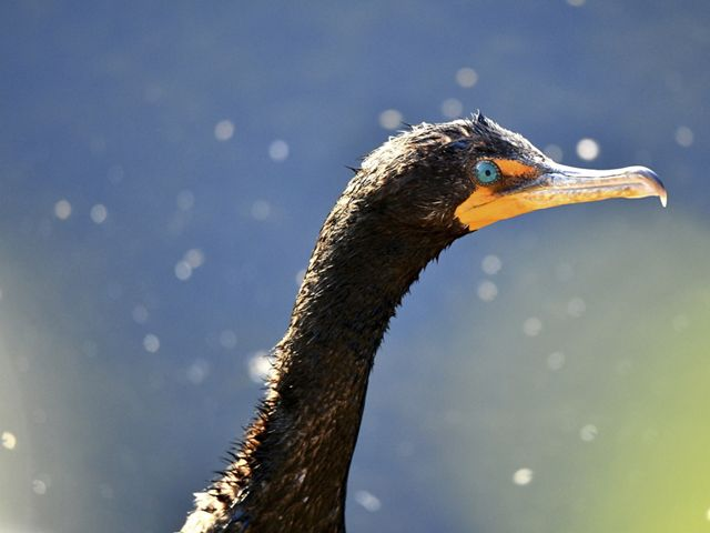 A double-crested cormorant is sunning after a swim.