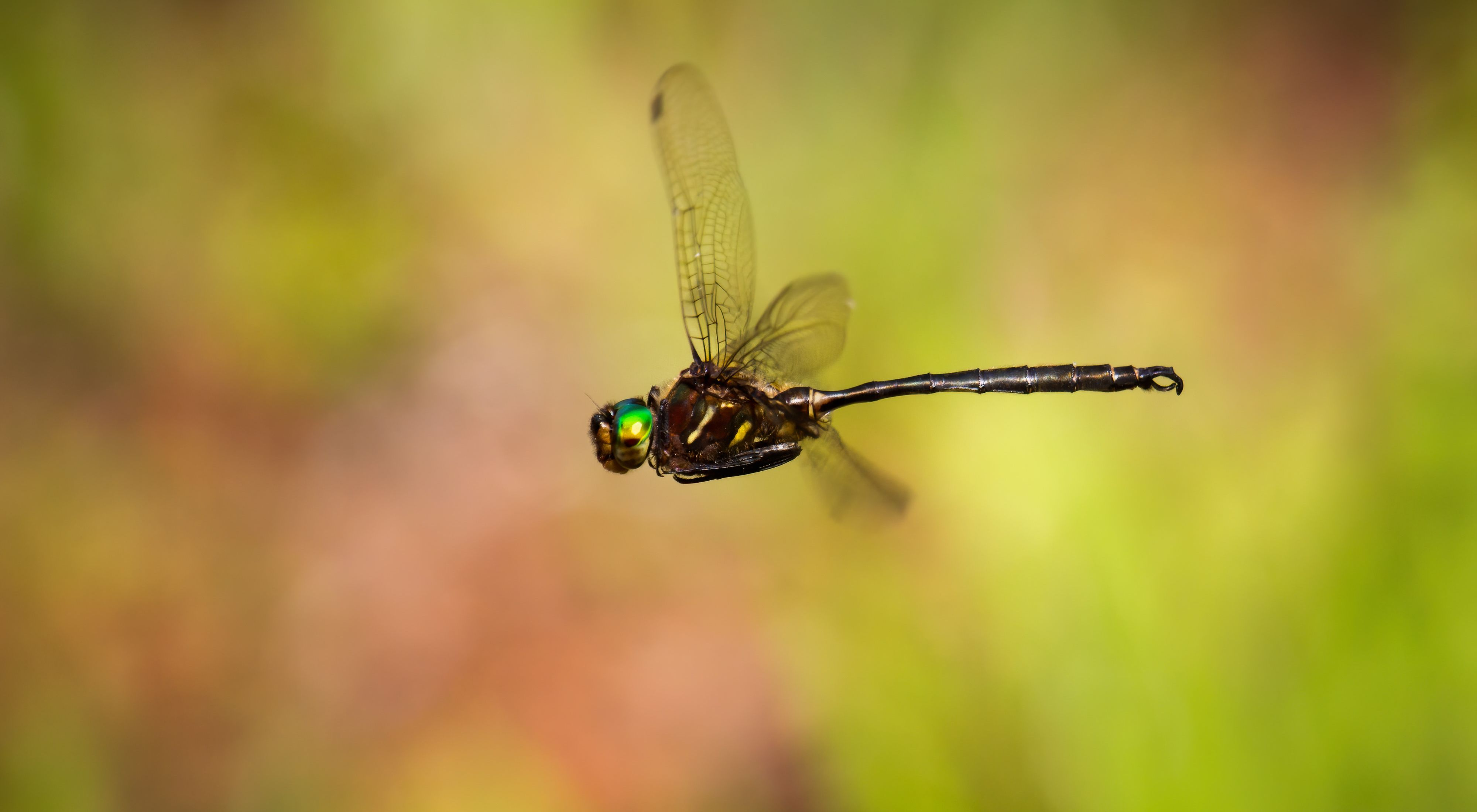 Darkly colored dragonfly with green head in flight.