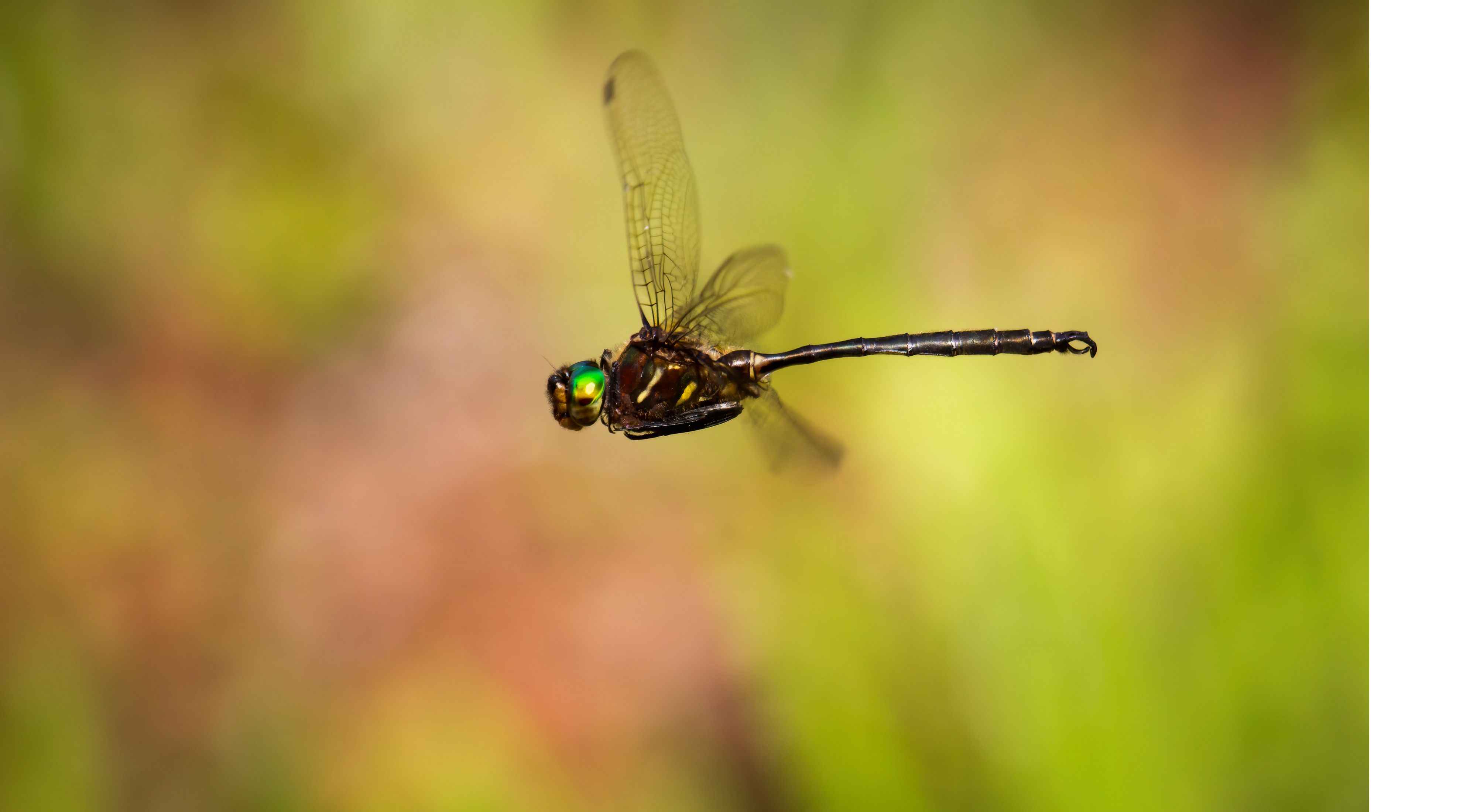 darkly colored dragonfly with green head in flight