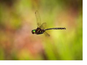 Adult dark-colored dragonfly in flight.