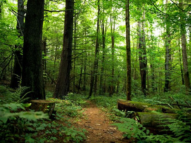 Path through a lush green forest with undergrowth and tall trees.