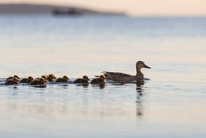 A family of ducks swims in Grand Traverse Bay.