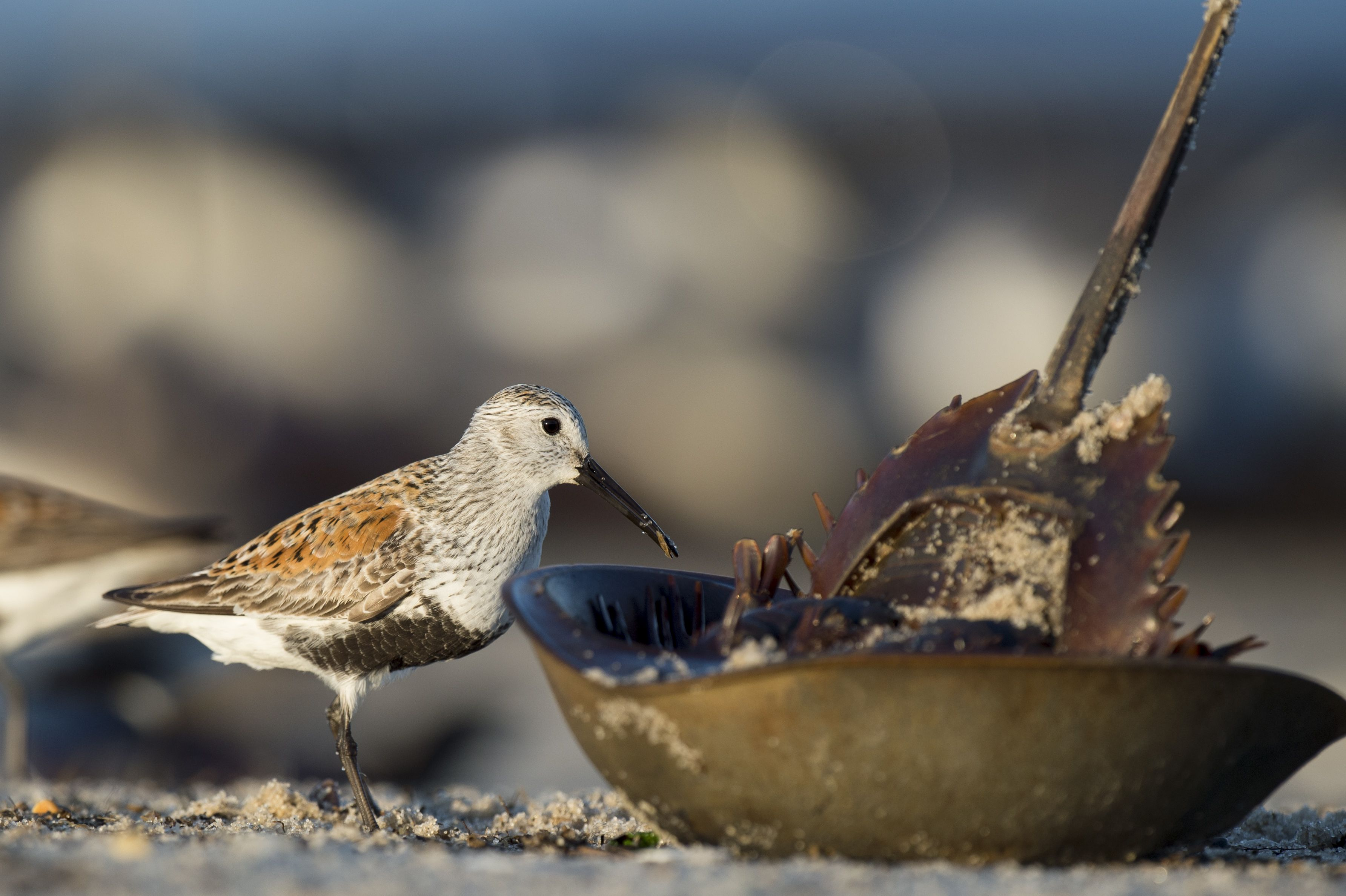 A dunlin stands next to an overturned horseshoe crab on the beach.