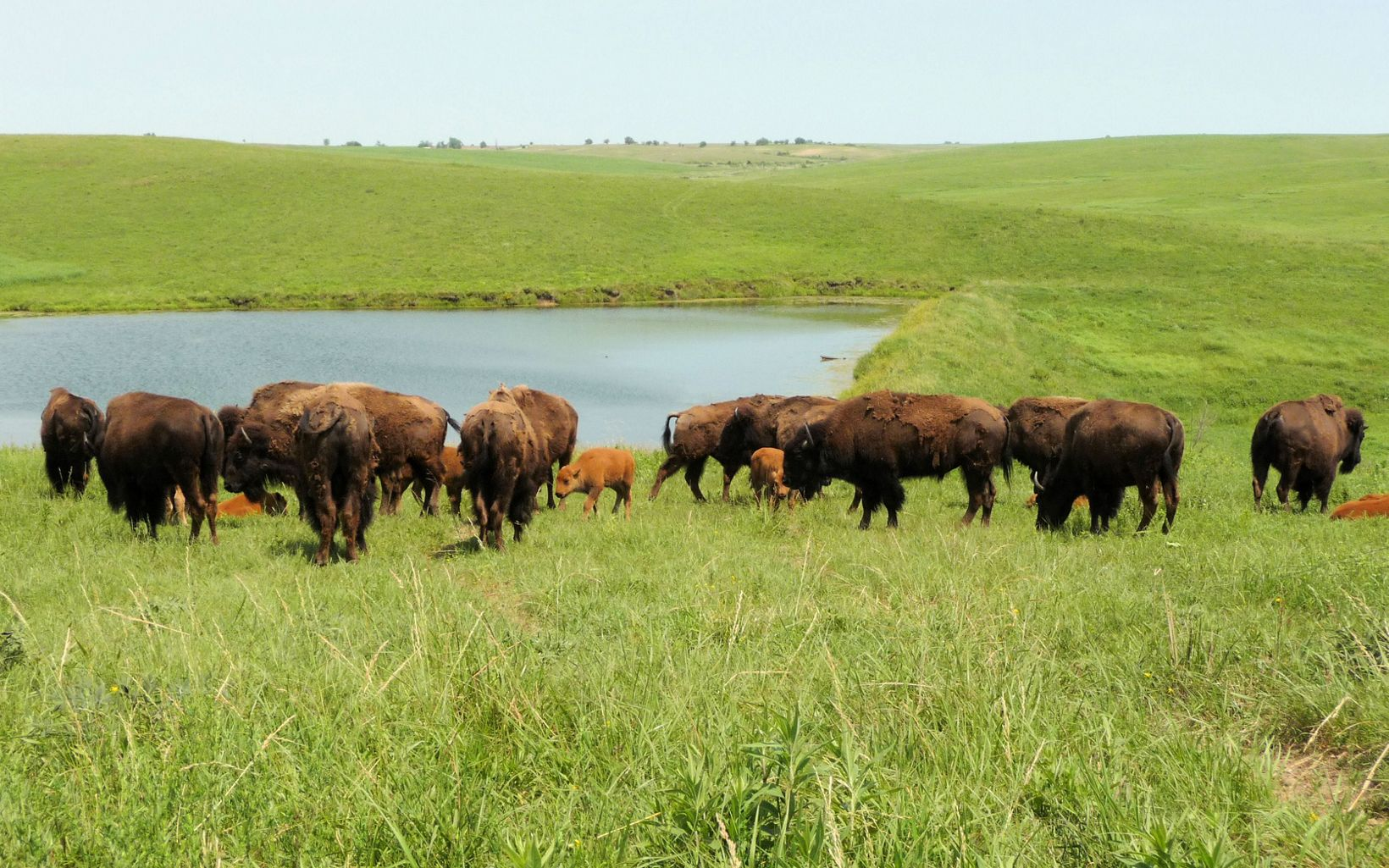 A herd of bison on the bright green prairie