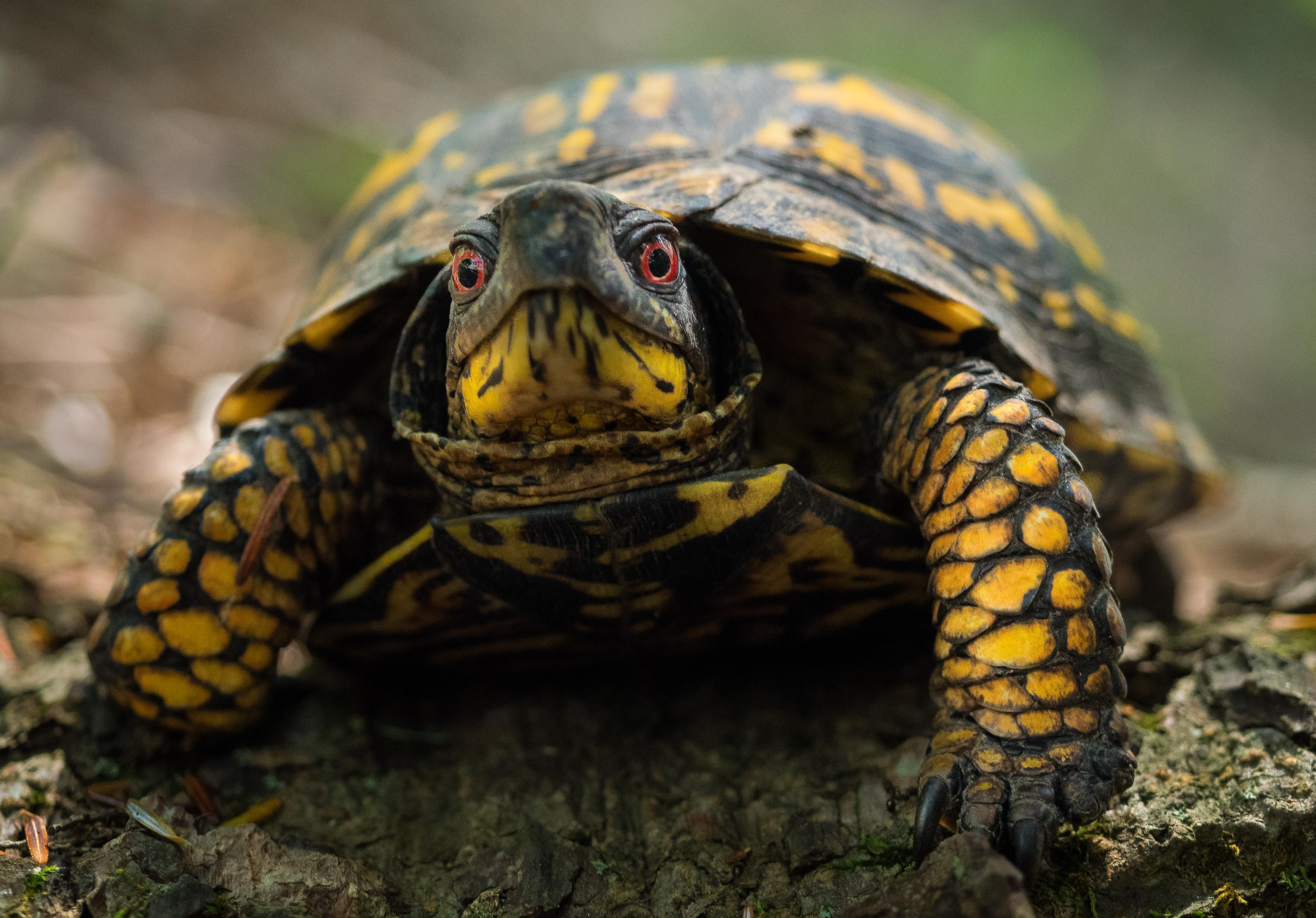 An eastern box turtle is looking directly at the camera.