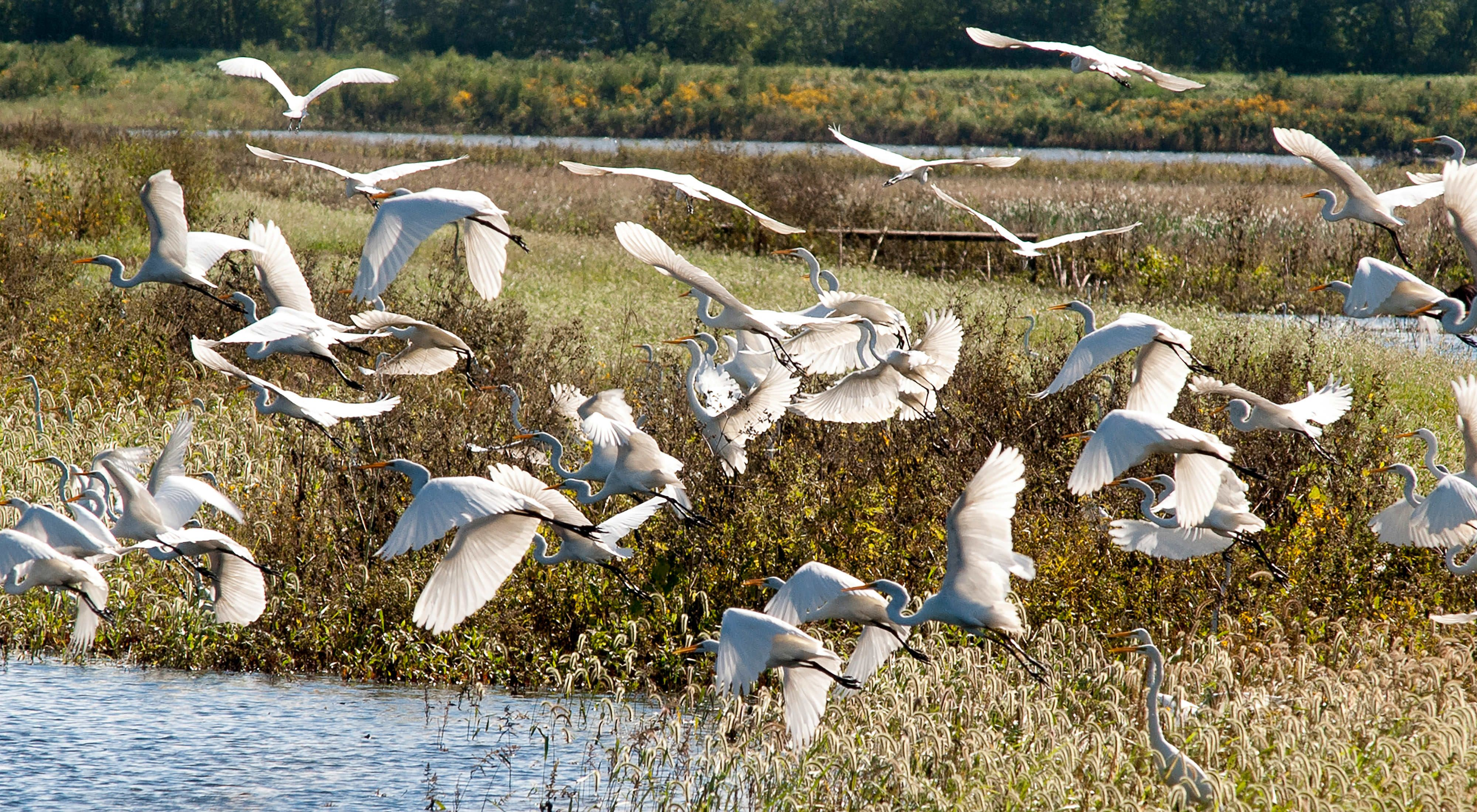 Birds take flight at The Nature Conservancy's Emiquon preserve.